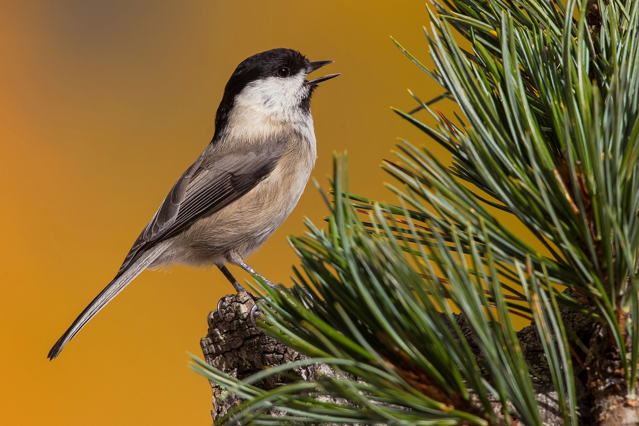 Coal Tit by Carlo Allievi