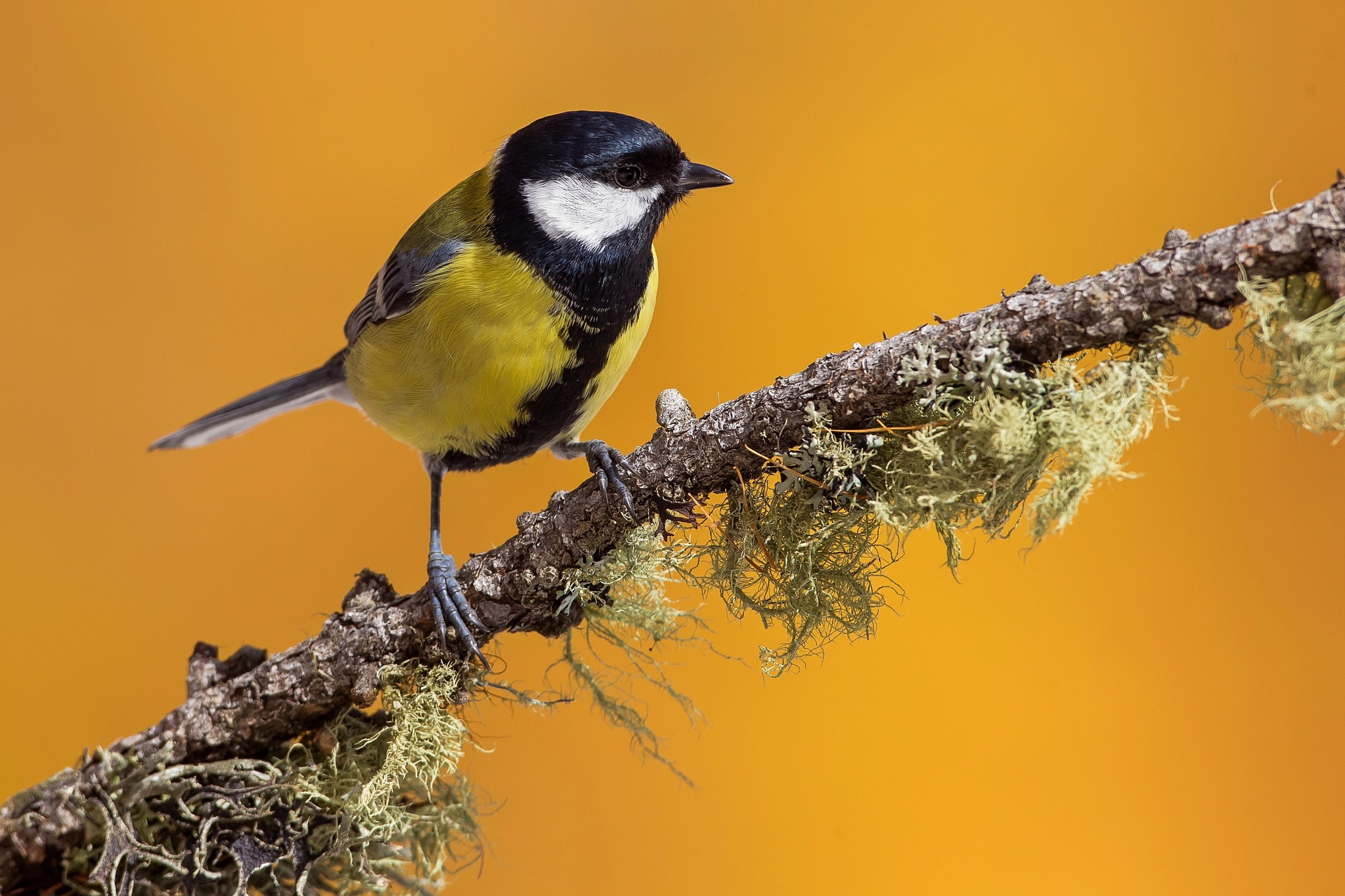 Titmouse by Carlo Allievi