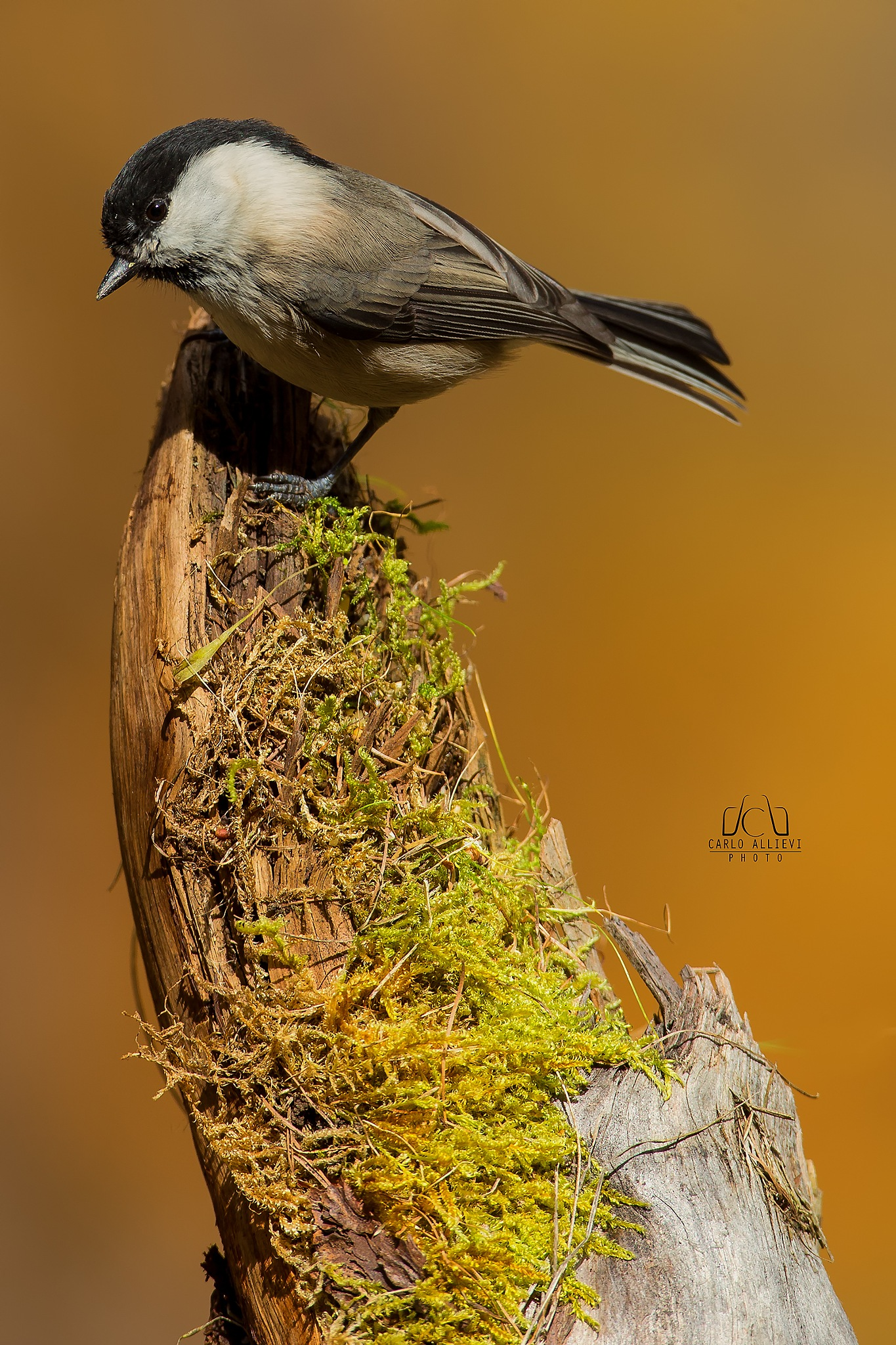 Willow Tit by Carlo Allievi