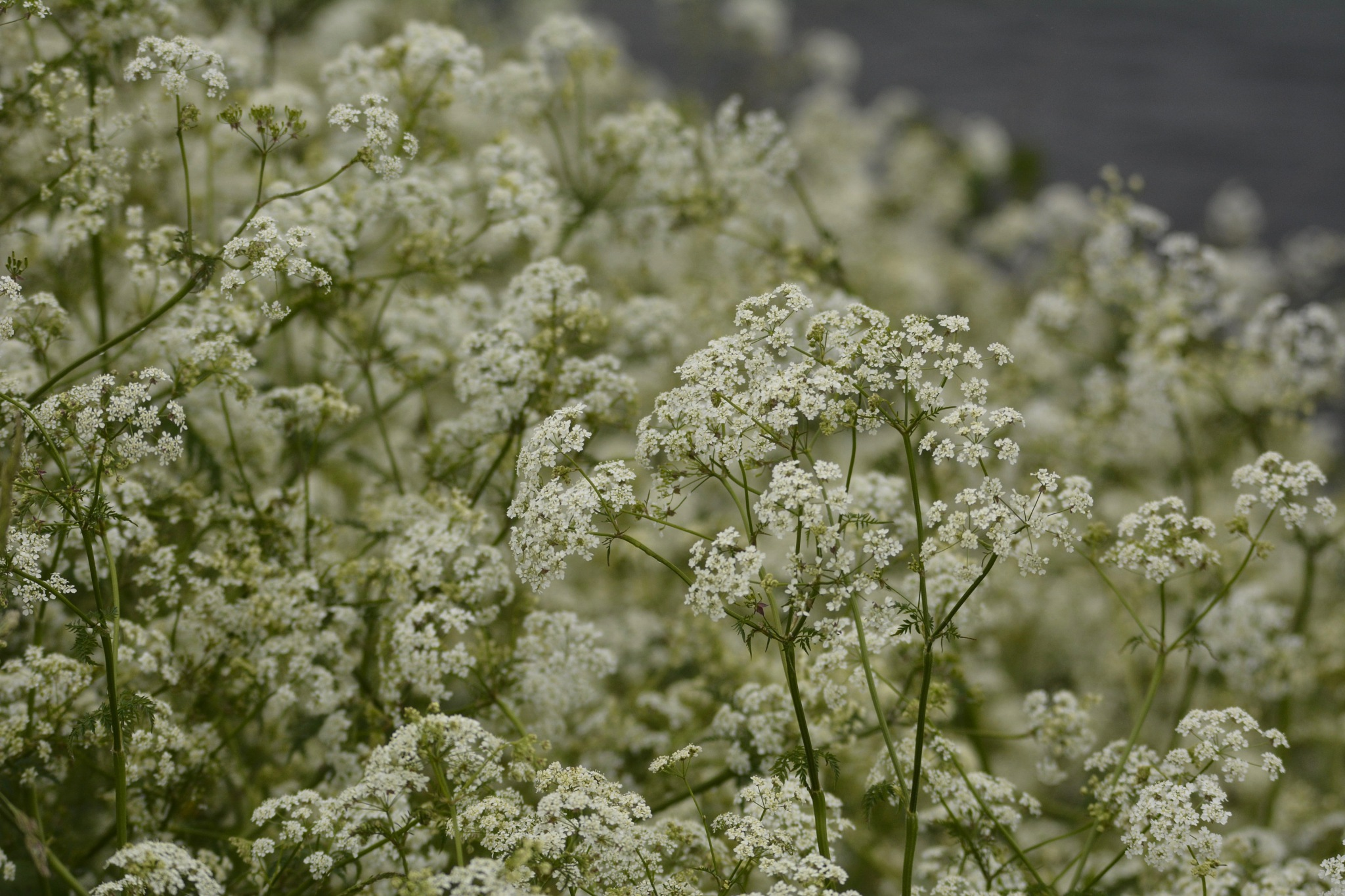 Cow Parsley 1.001 by Lars-Toralf Utnes Storstrand