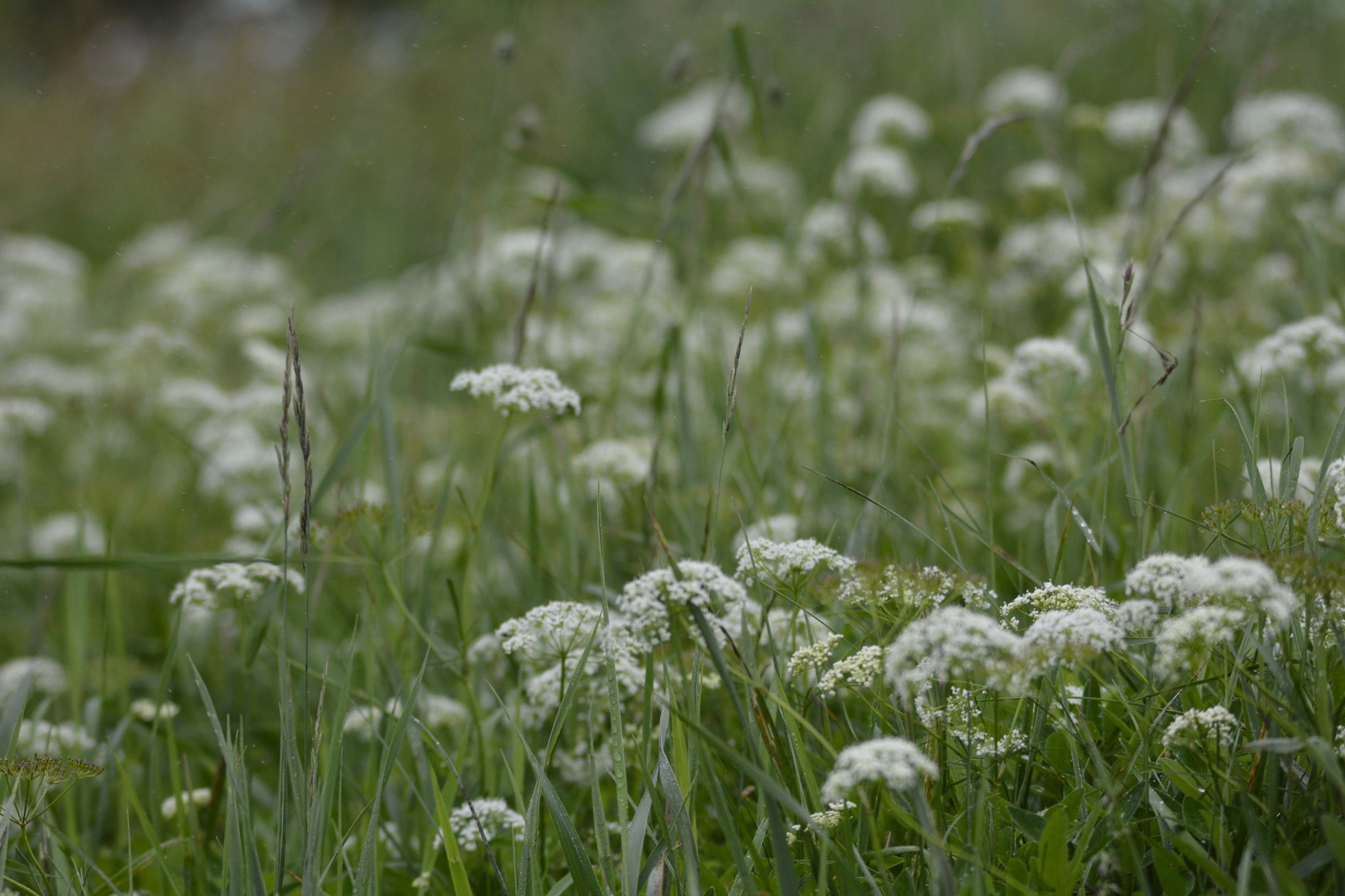 A Meadowful of Cow Parsley by Lars-Toralf Utnes Storstrand