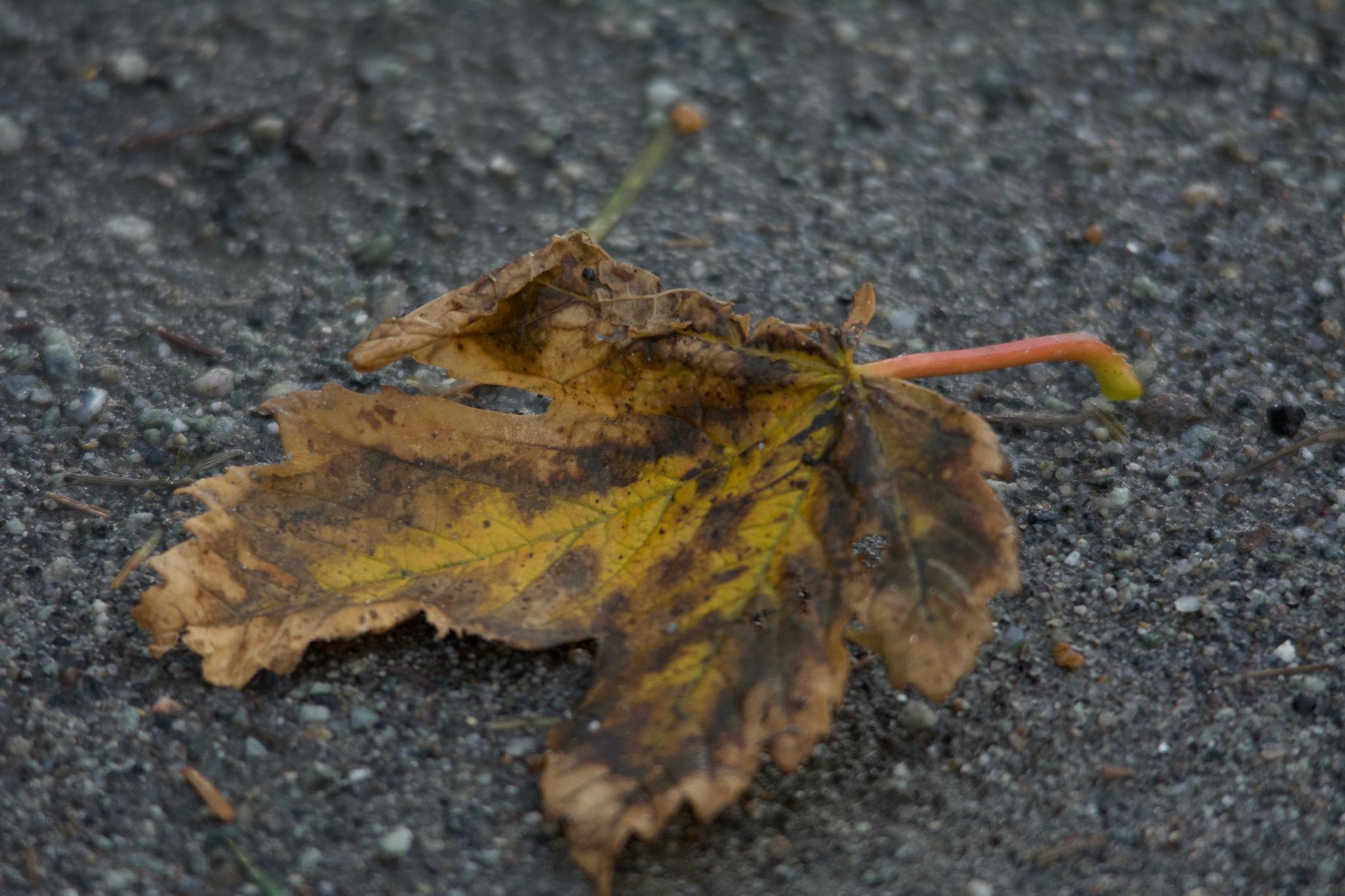 Photo in Nature #death #leaf #maple #autumn