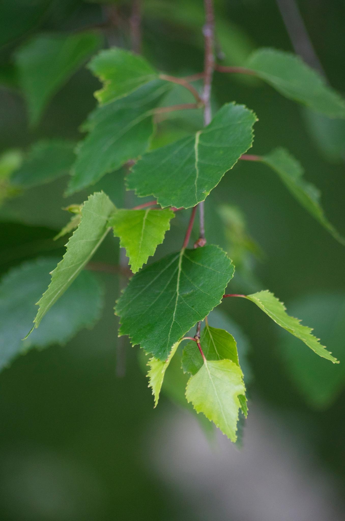 Birch Leaves by Lars-Toralf Utnes Storstrand