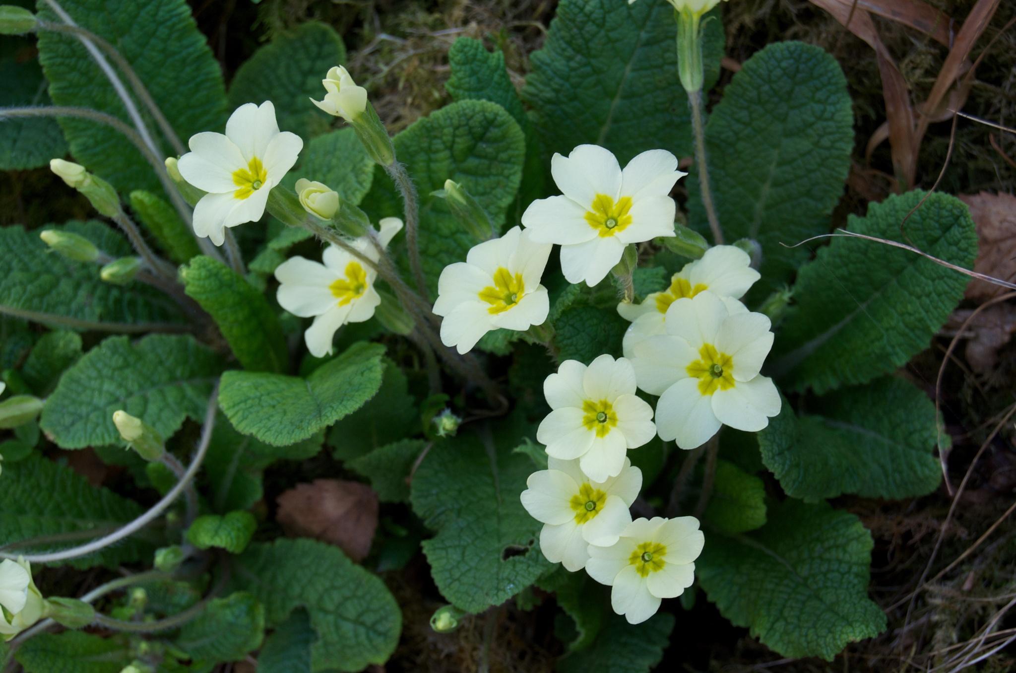 Primrose (Primula vulgaris) by Lars-Toralf Utnes Storstrand