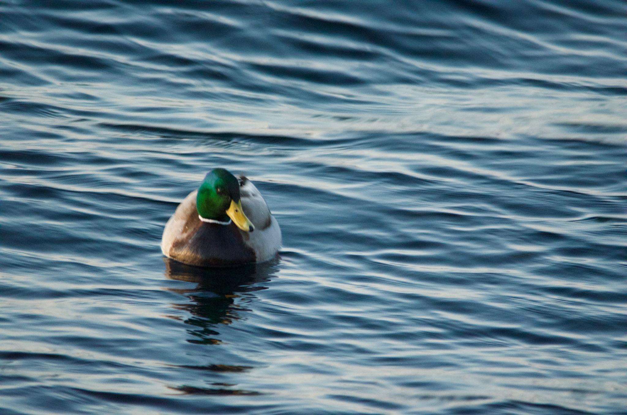 Mallard Drake at sea by Lars-Toralf Utnes Storstrand