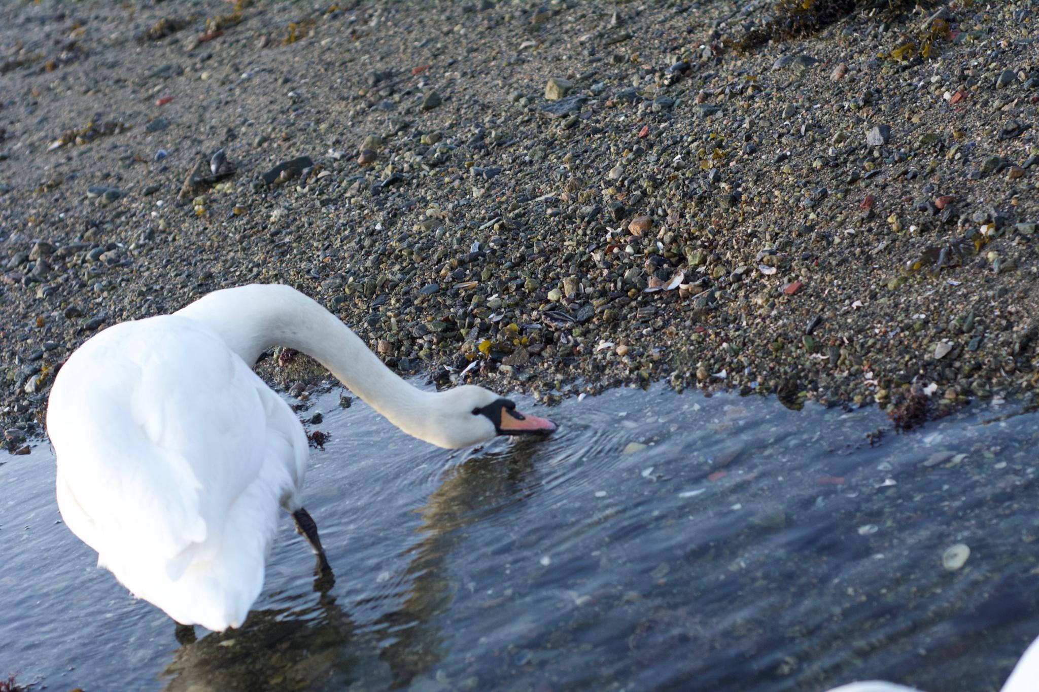 Swan [05] by Lars-Toralf Utnes Storstrand