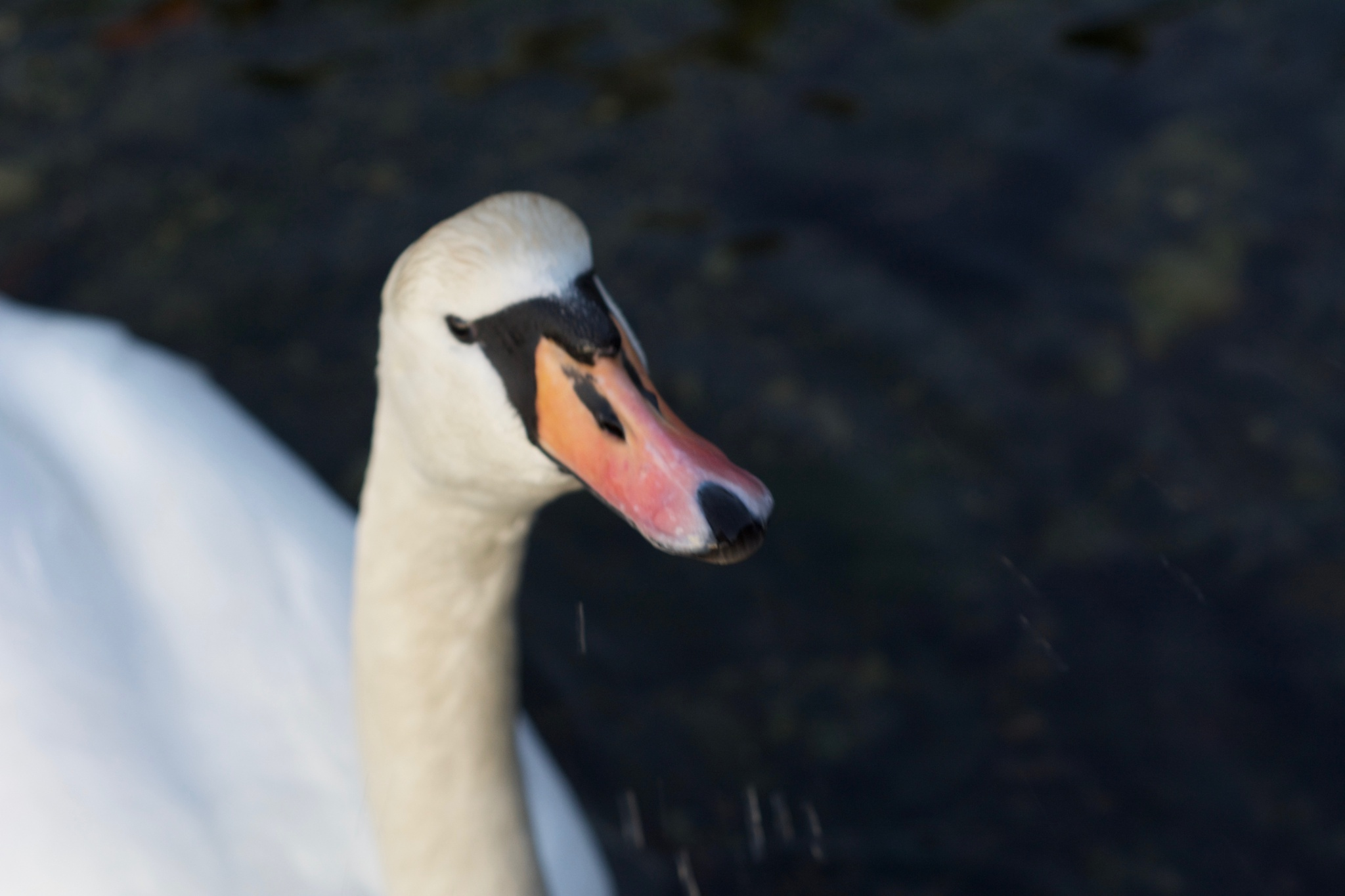 Swan close-up [2] by Lars-Toralf Utnes Storstrand