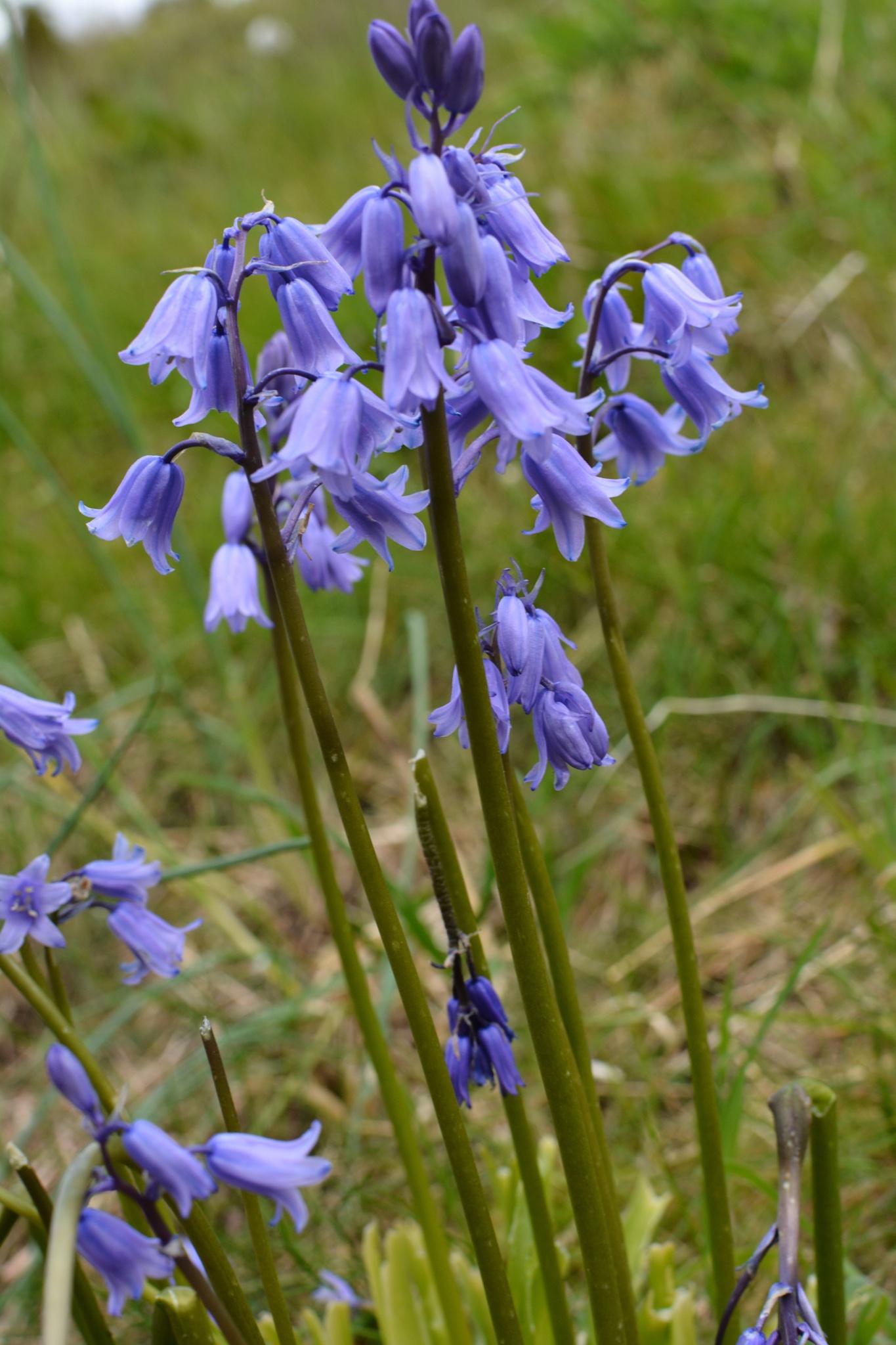 Bluebells (Campanula rotundifolia) by Lars-Toralf Utnes Storstrand
