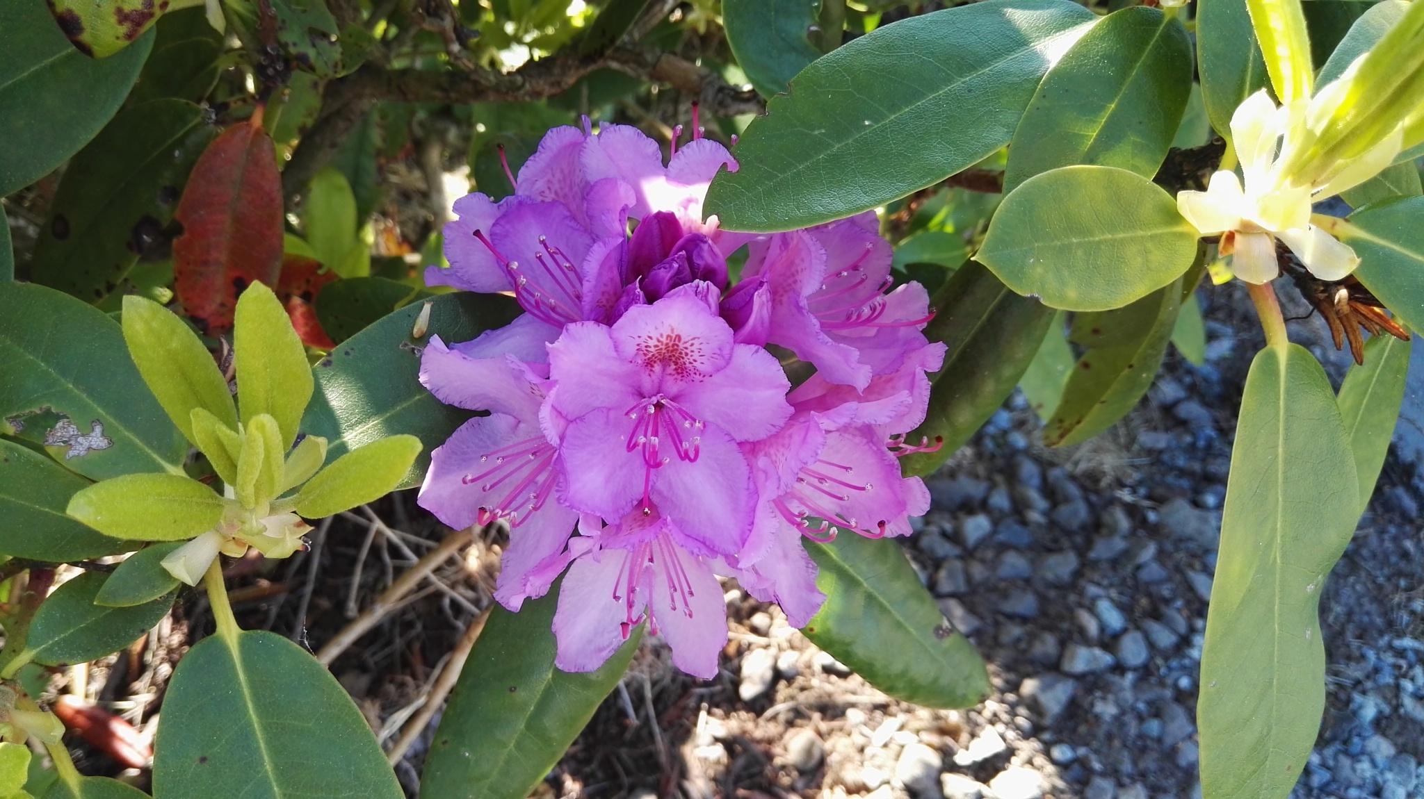 Purple Rhododendron by Lars-Toralf Utnes Storstrand
