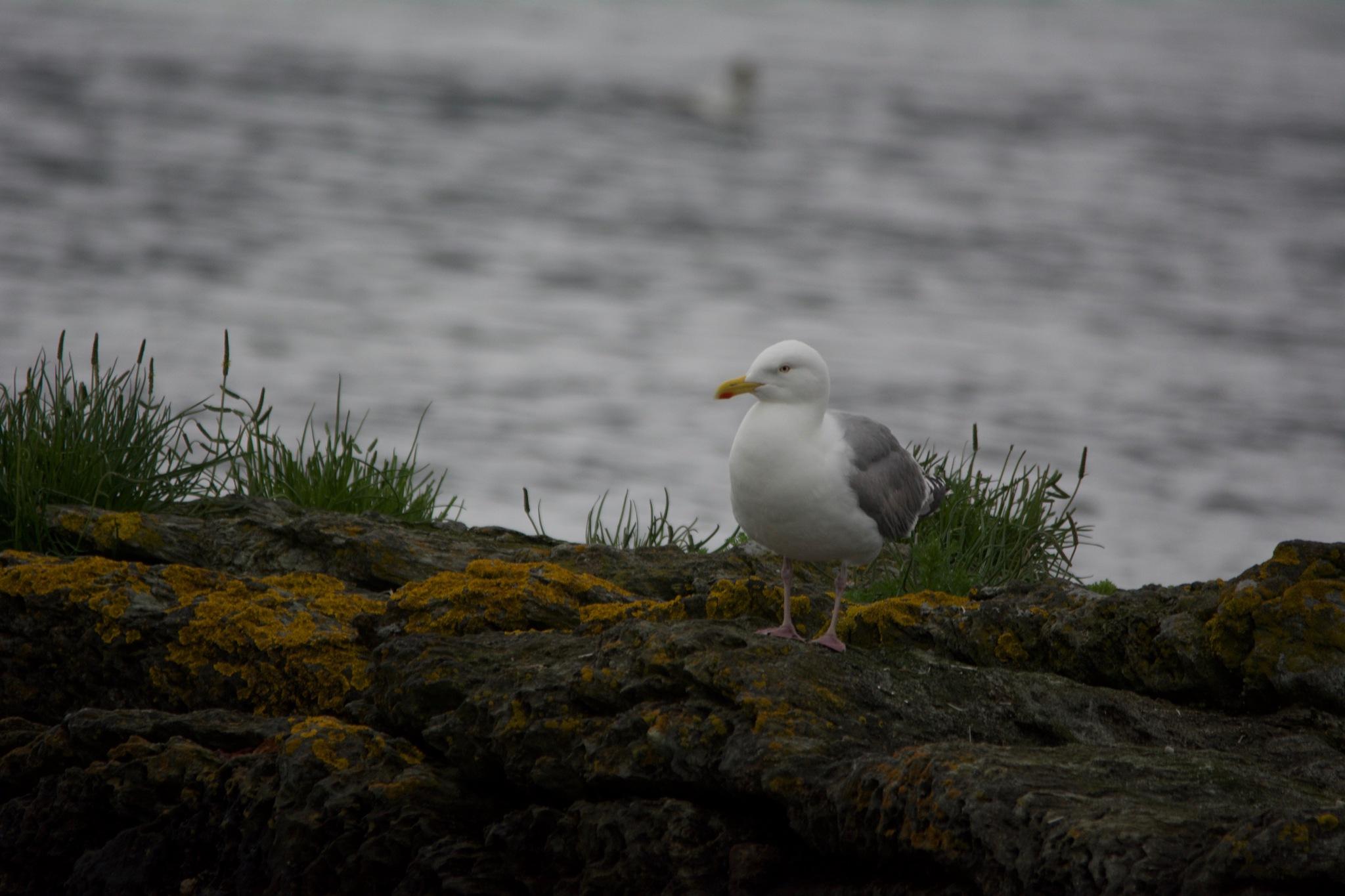 Seagull Spying 1.003 by Lars-Toralf Utnes Storstrand