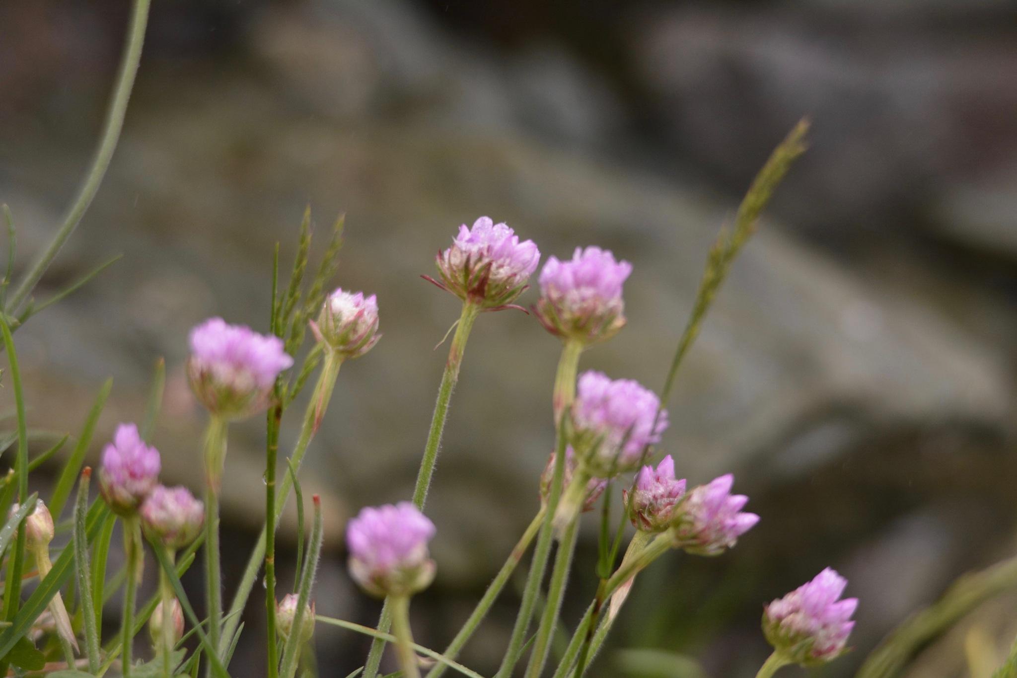 Heather in bloom 1.001 by Lars-Toralf Utnes Storstrand
