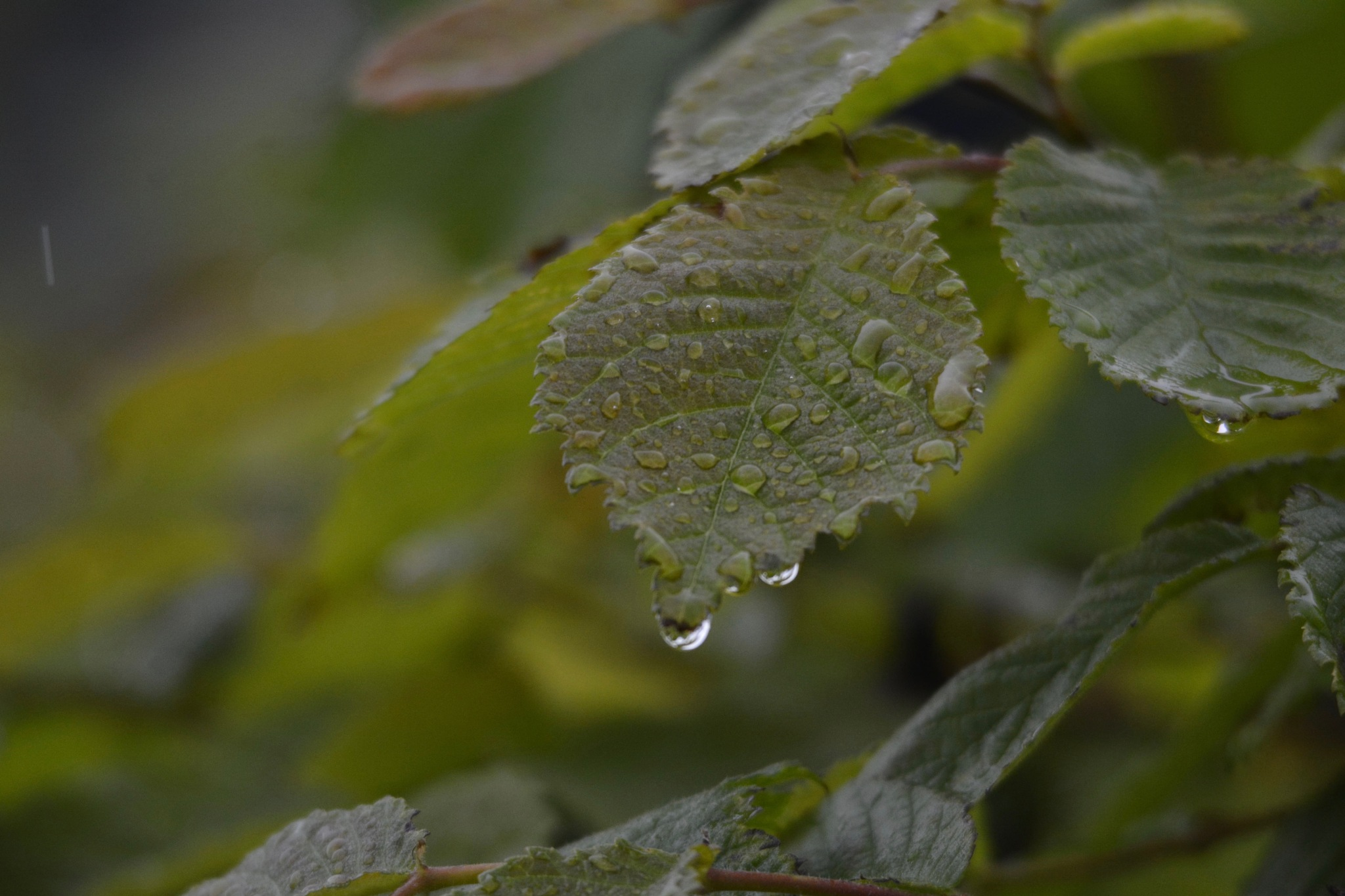 Leaves with drops 1.006 by Lars-Toralf Utnes Storstrand