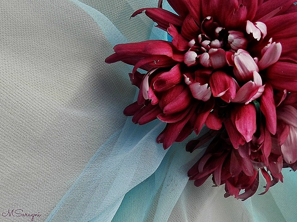 Crisantemo by Marisa Saragni