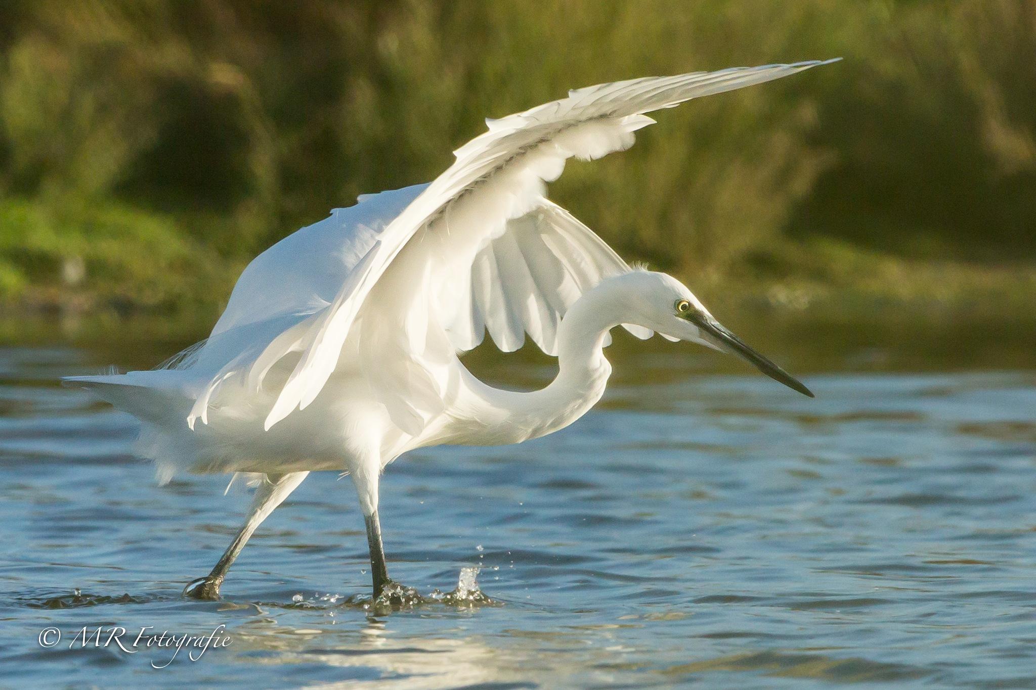 Kleine Zilverreiger - Little egret (Egretta garzetta) by marcrogghe