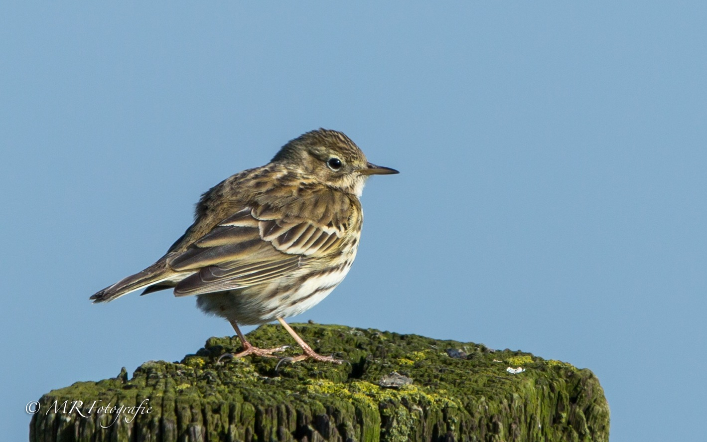 Graspieper - Meadow pipit (Anthus pratensis) by marcrogghe