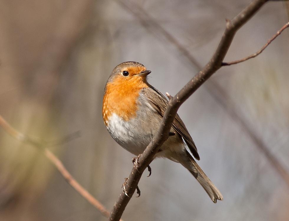 Robin! by NillaA