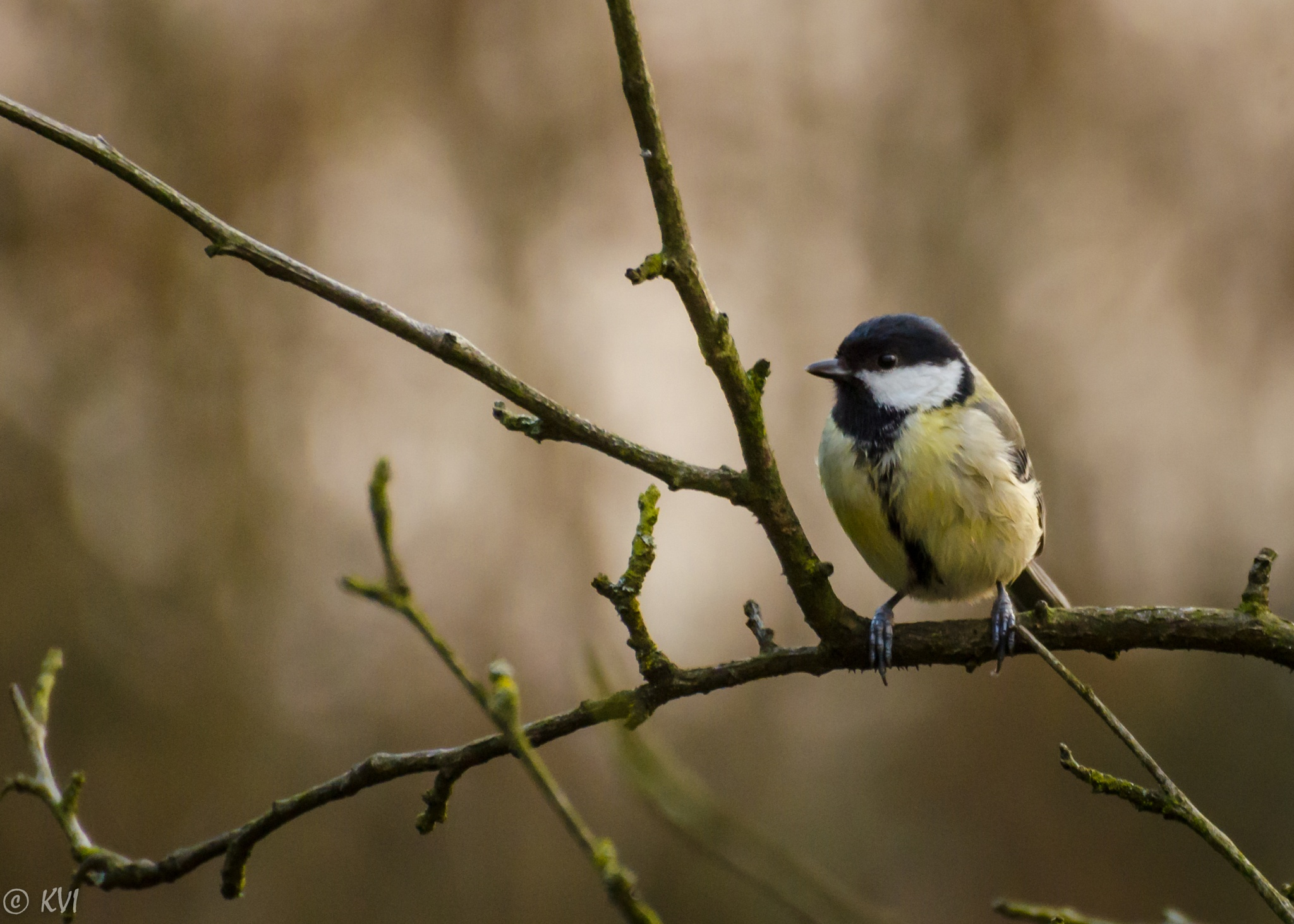 Koolmees -Great Tit -Mésange Charbonnière by KatrienVanIsacker