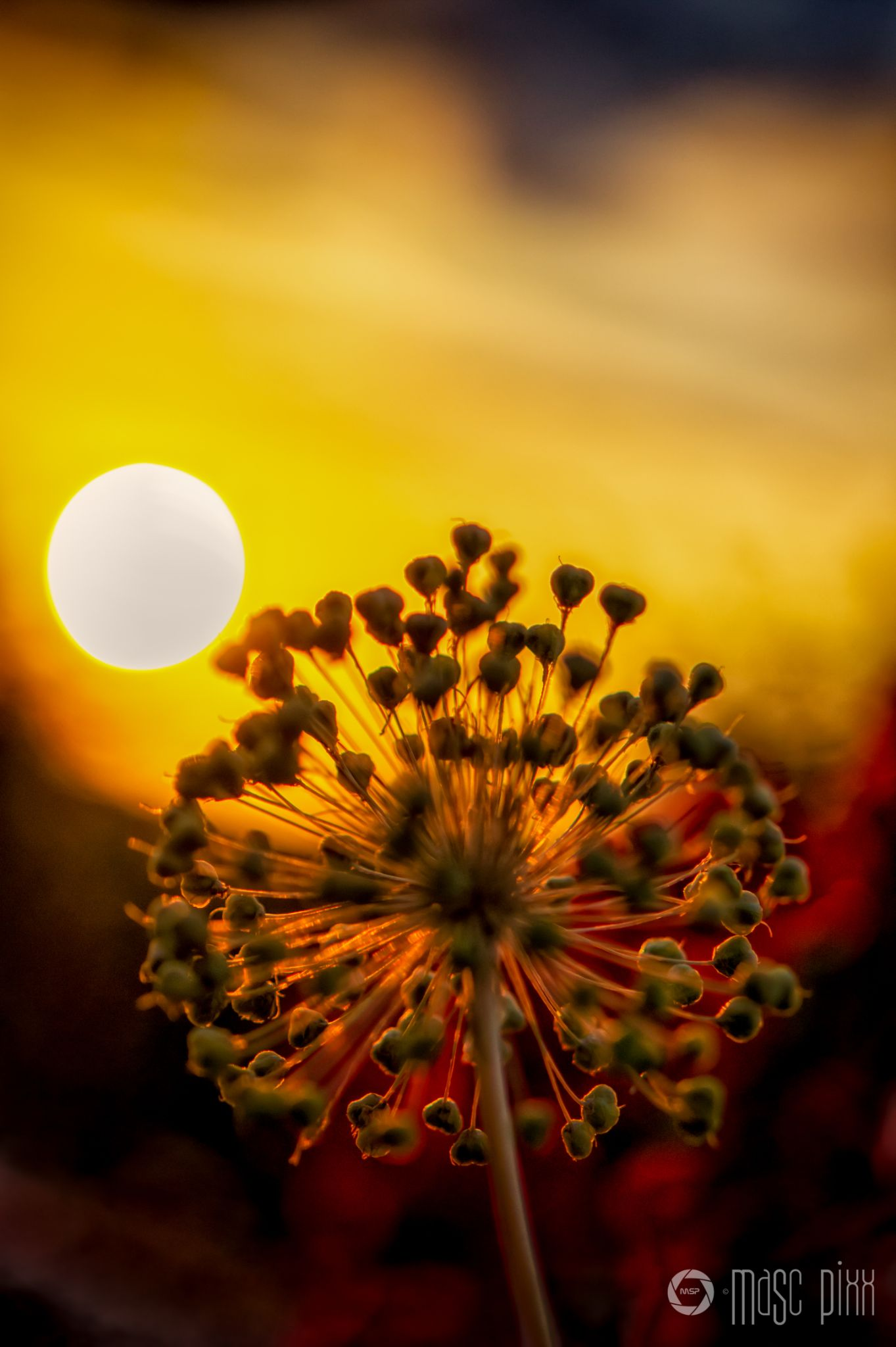 Flower in the Sunset by Martin Schunack