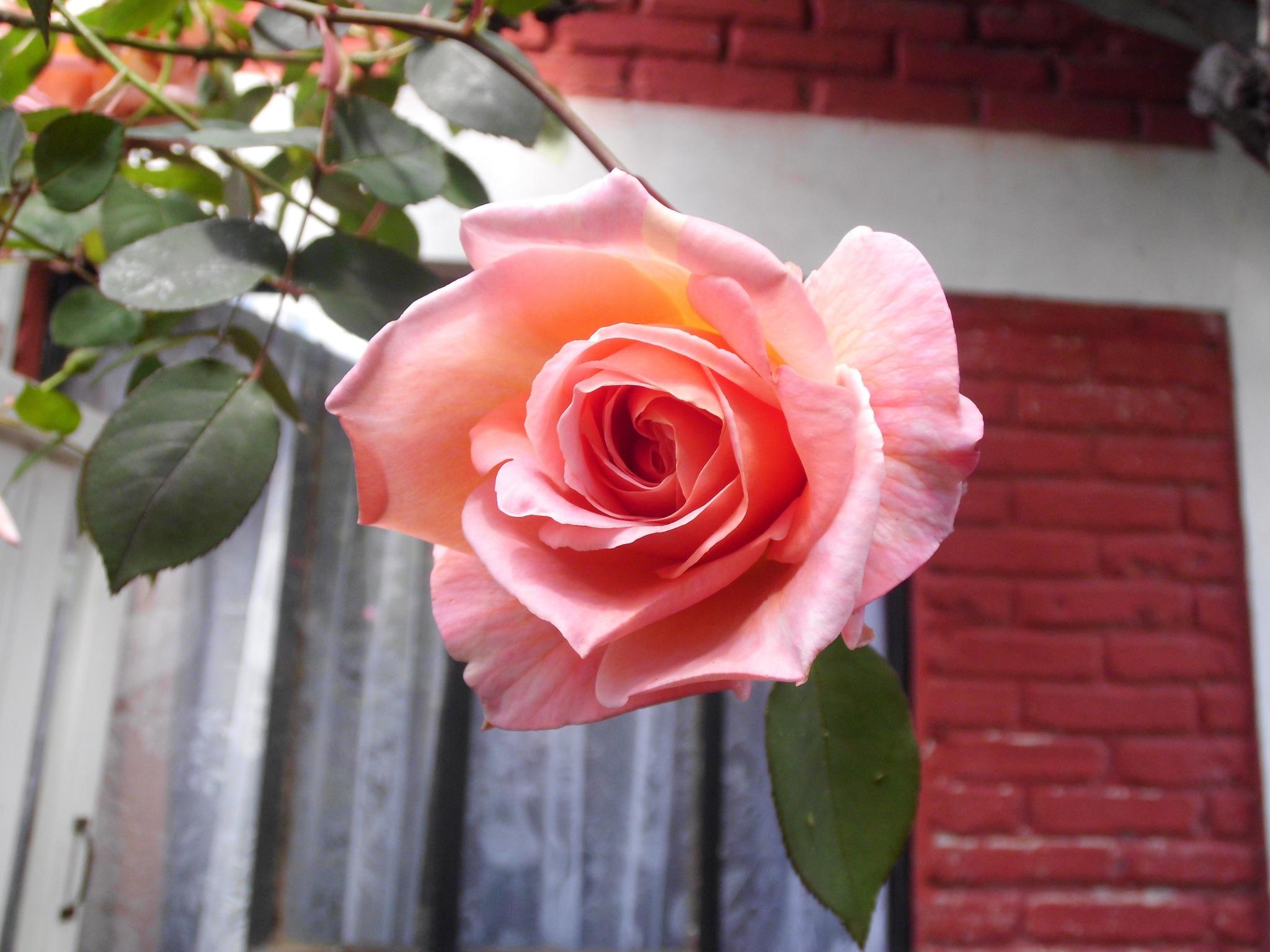 una rosa by Cristina Angélica