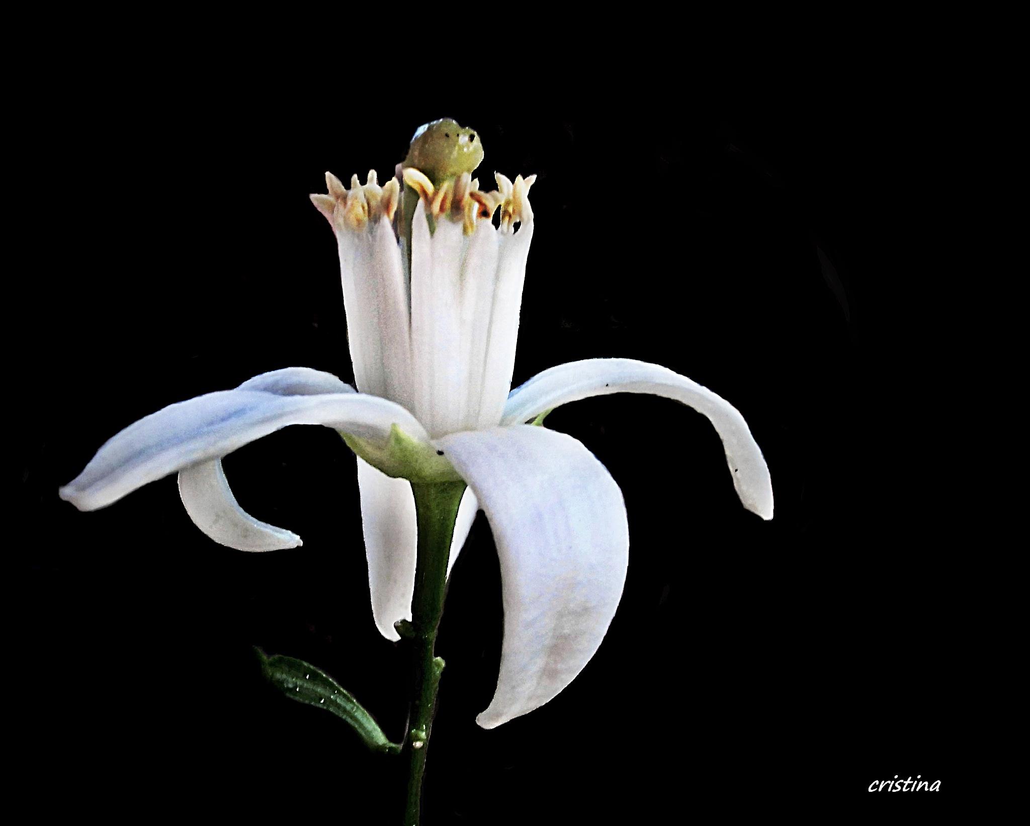 azahar  flor de naranjo by Cristina Angélica