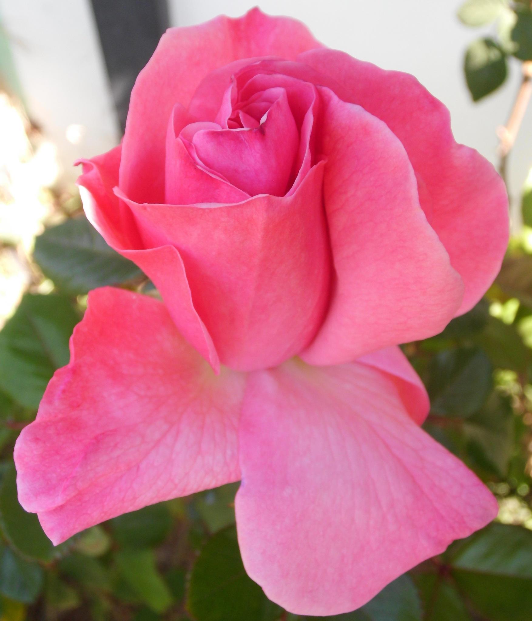 Rosa rosa by Cristina Angélica