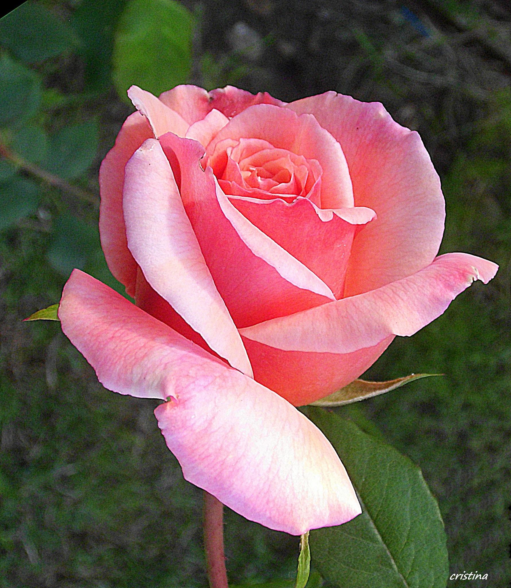 Photo in Nature #flor #jardín #rosa #color rosado #matiz