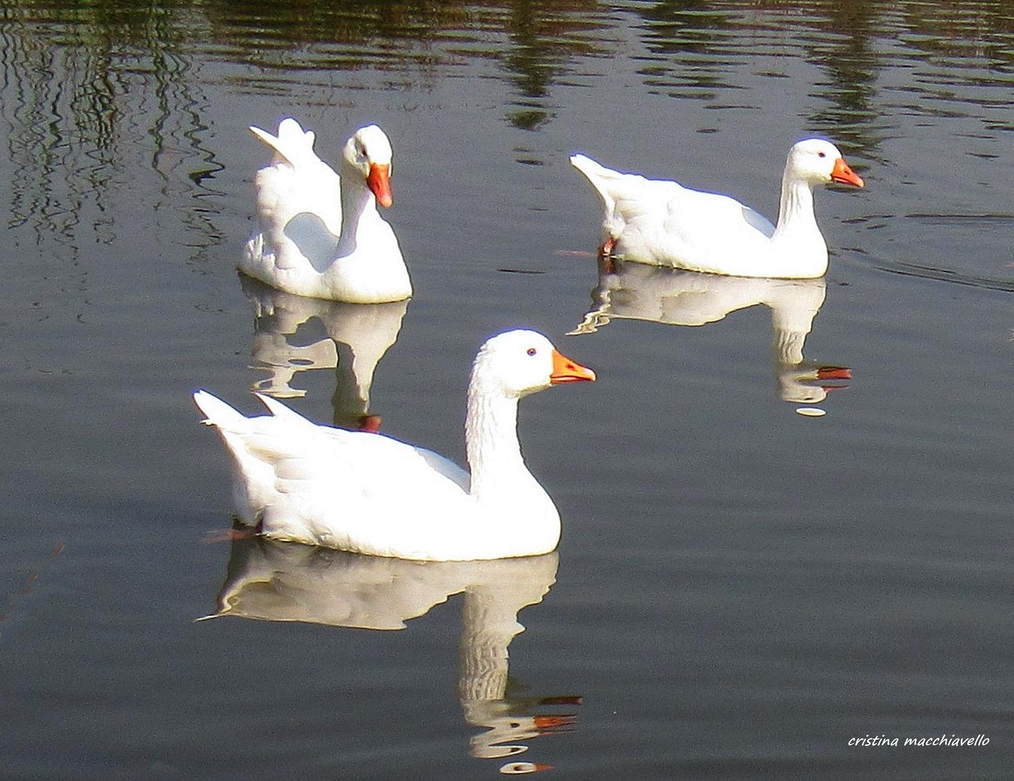 Gansos blancos que nadan by Cristina Angélica