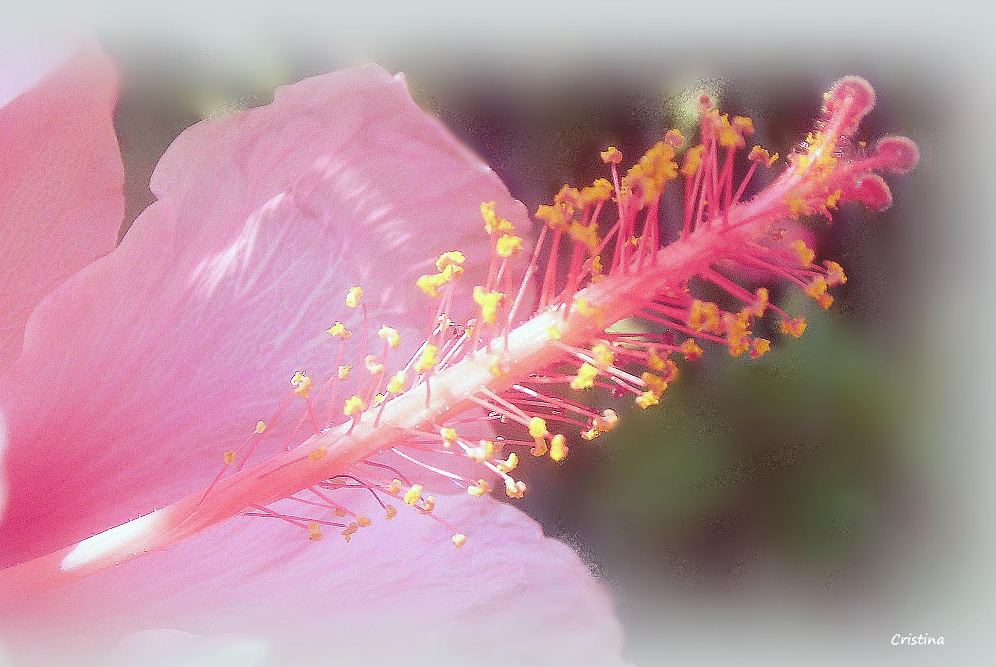 hibisco by Cristina Angélica