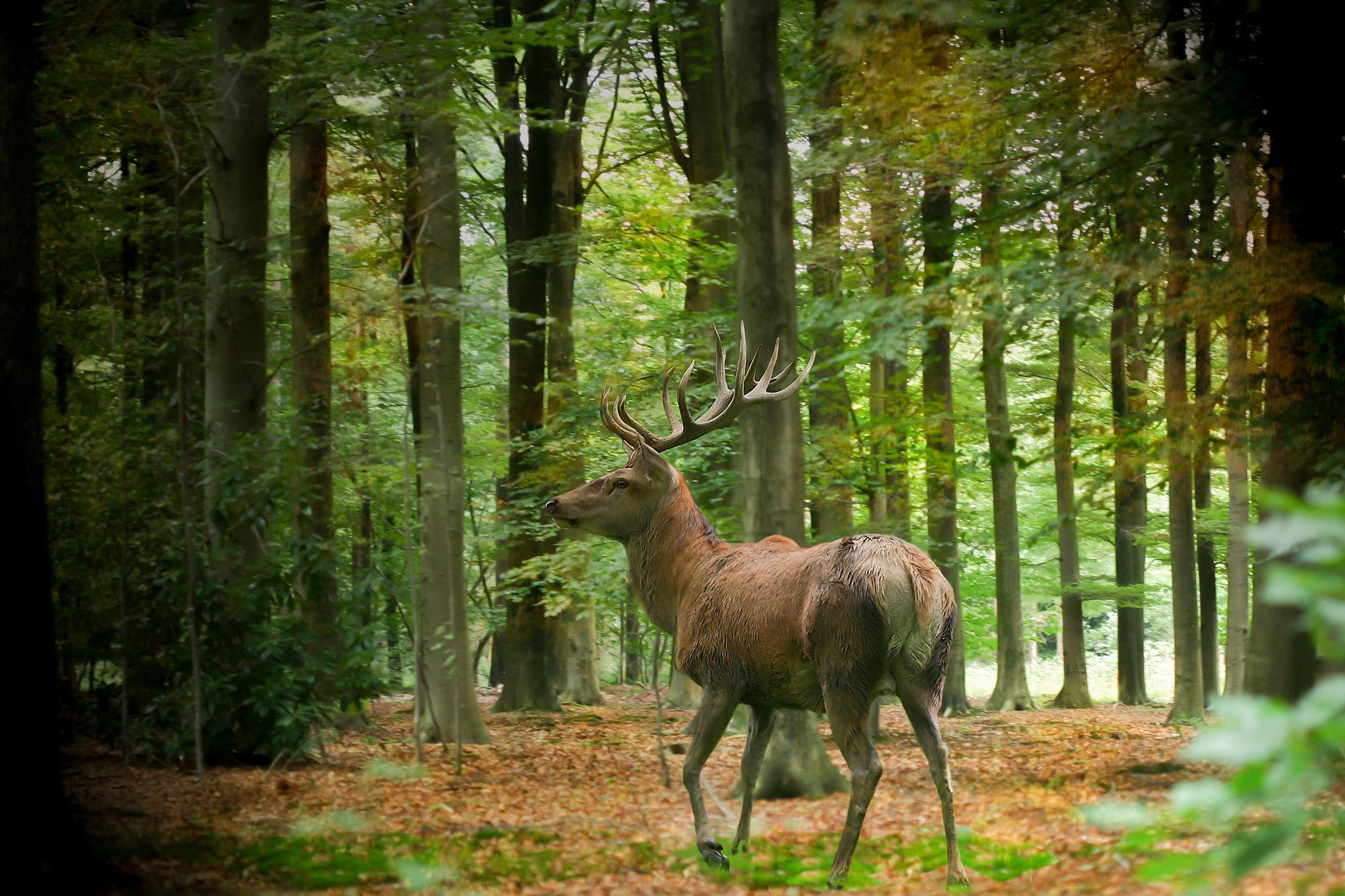 hert in het bos by Renaat