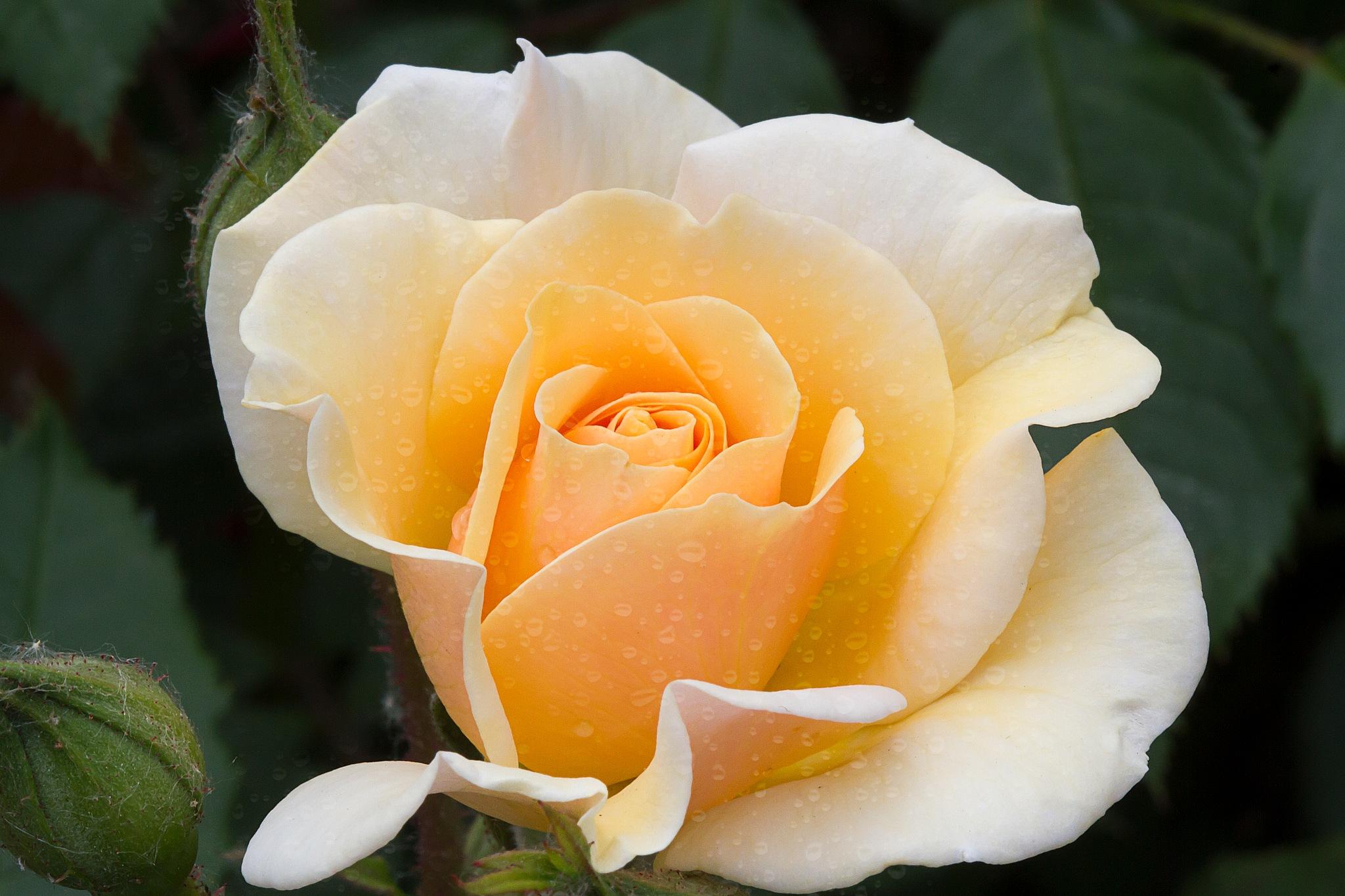 rose by Renaat