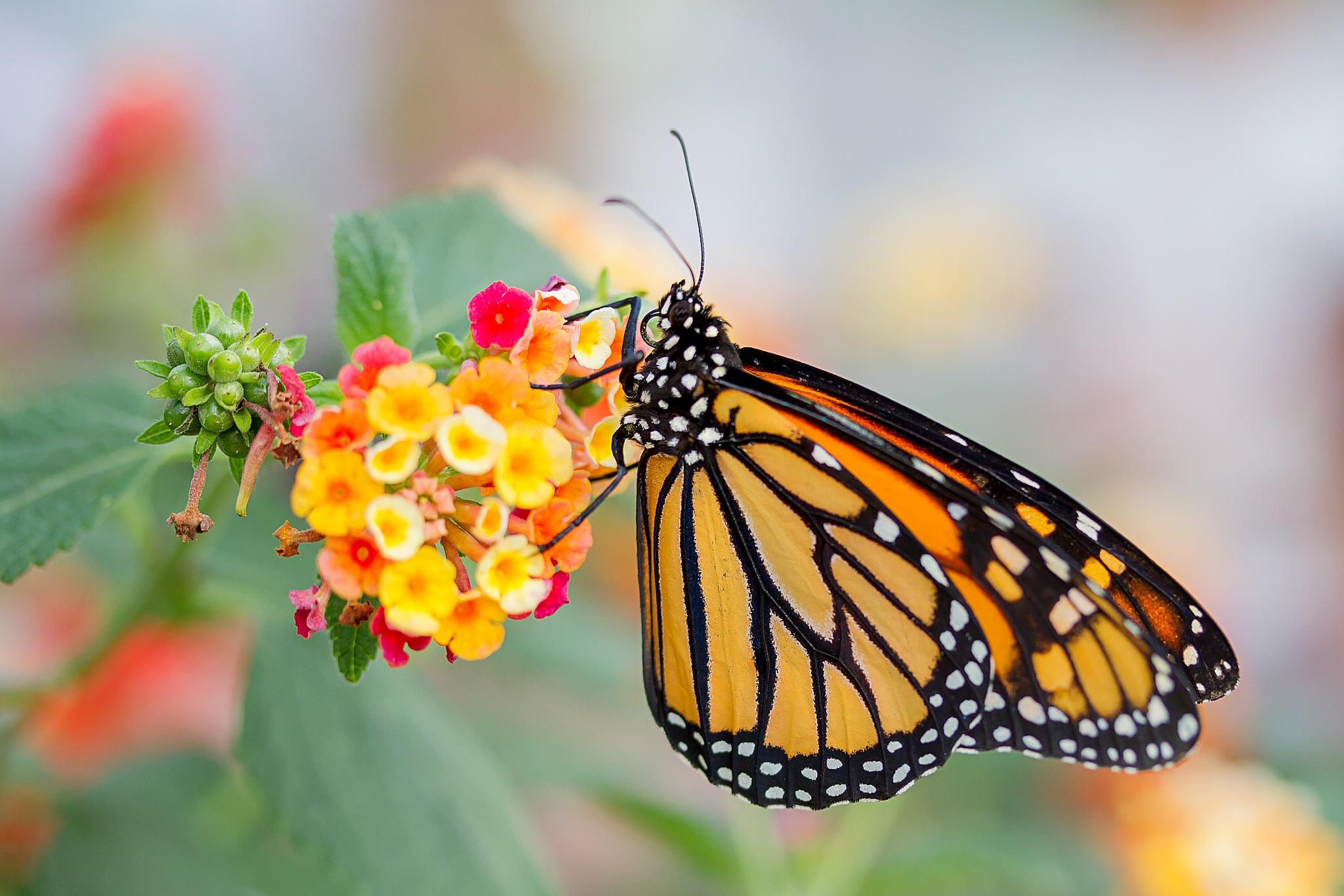 butterfly-35 by Renaat