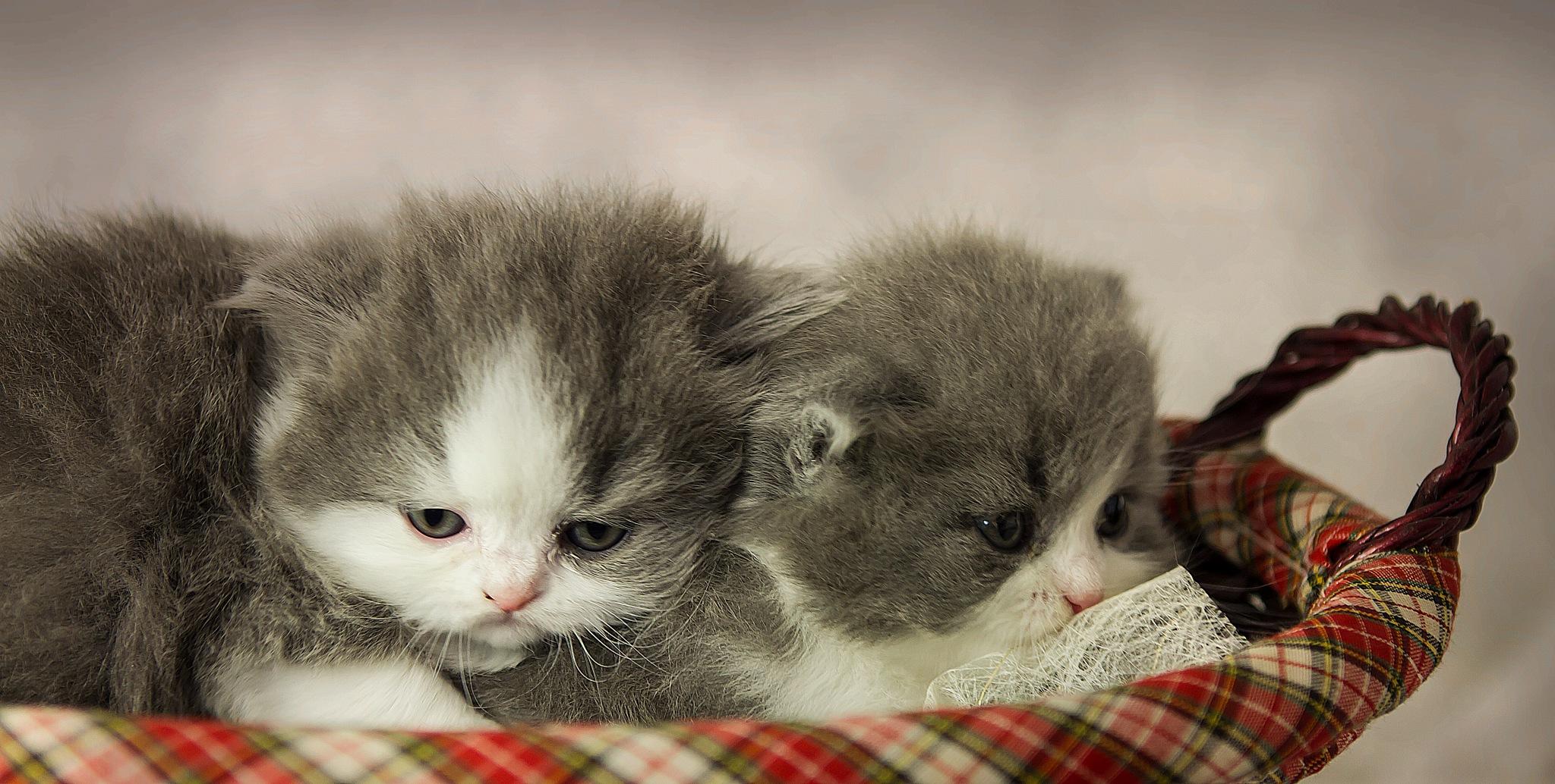 kittens by Renaat
