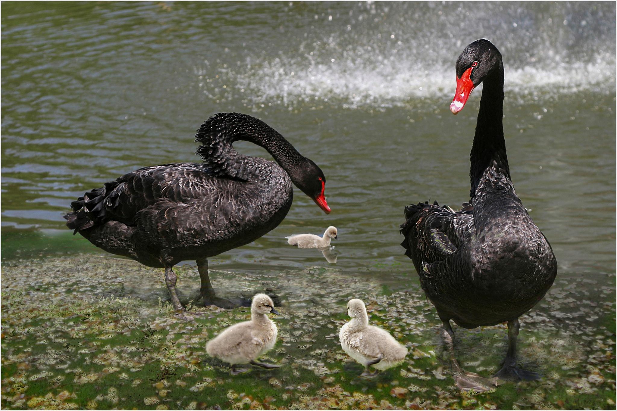 black swans by Renaat