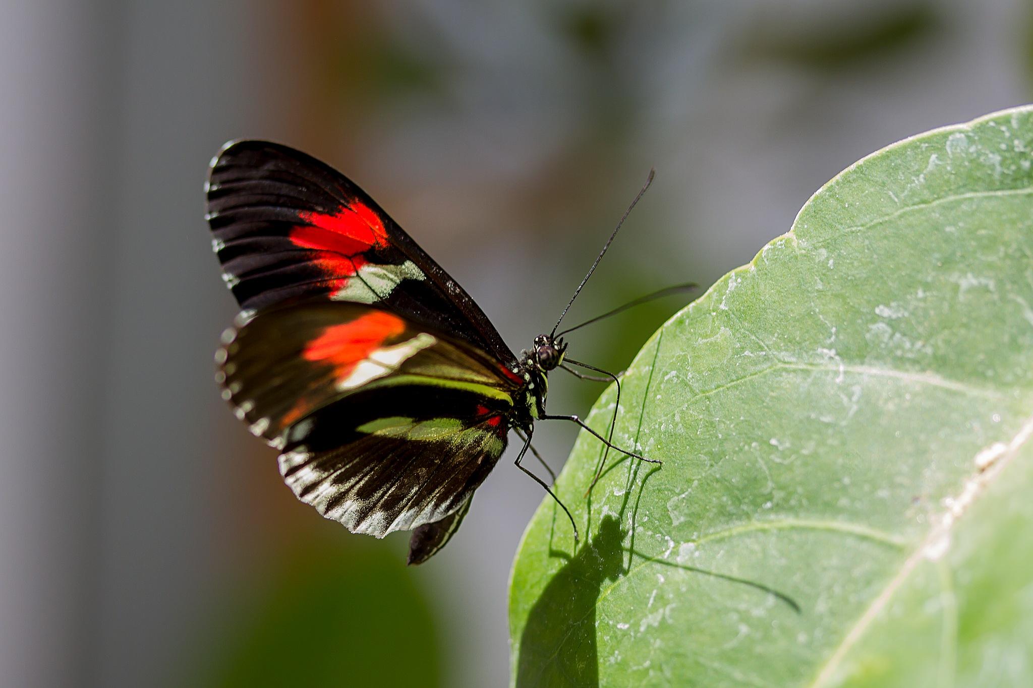 butterfly-32 by Renaat