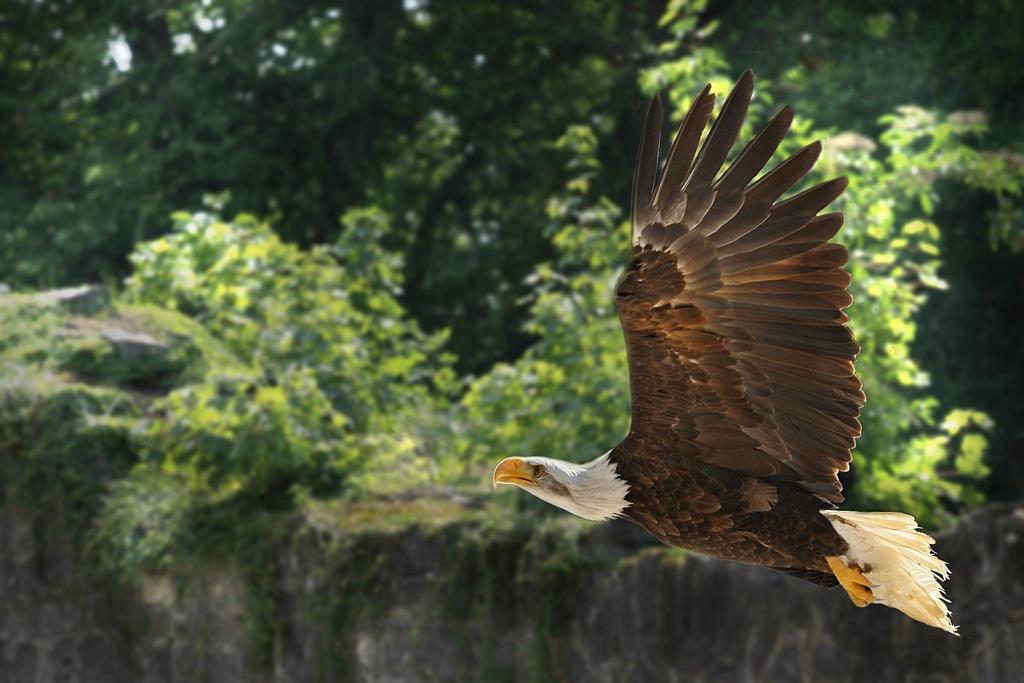 eagle by Renaat