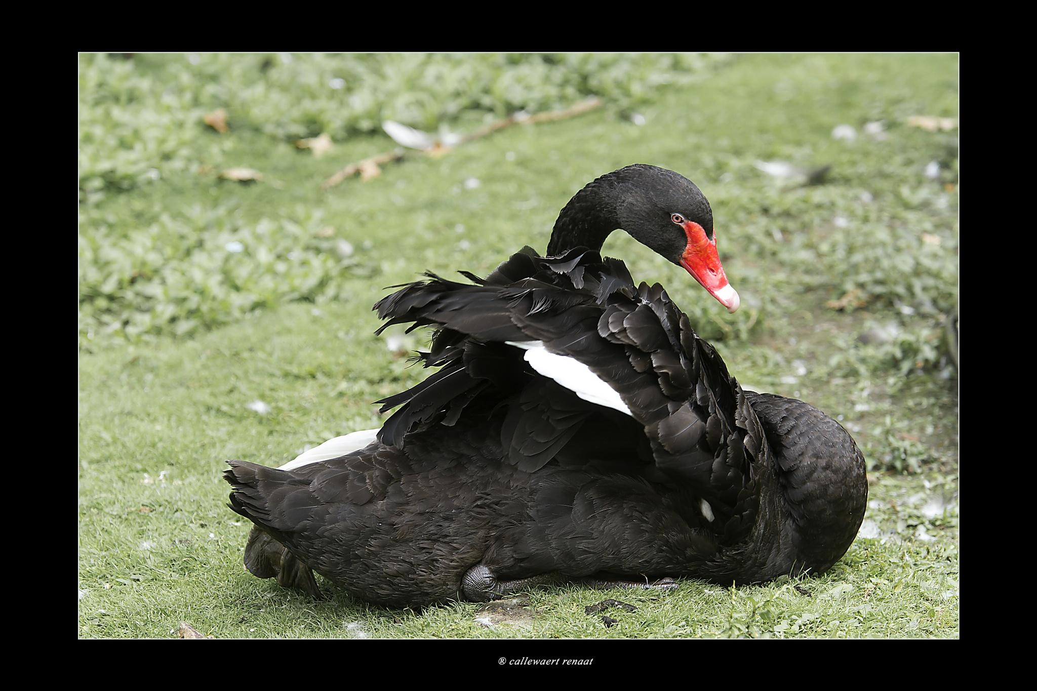 black swan by Renaat