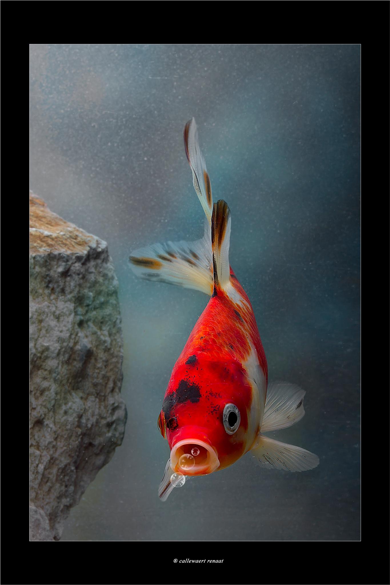 goldfish in new aquariumstudio by Renaat