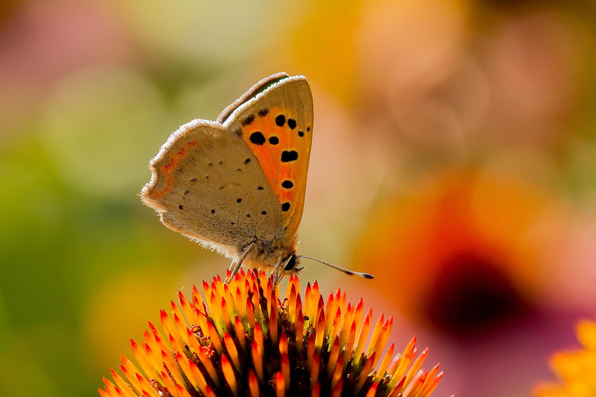 butterfly by Renaat