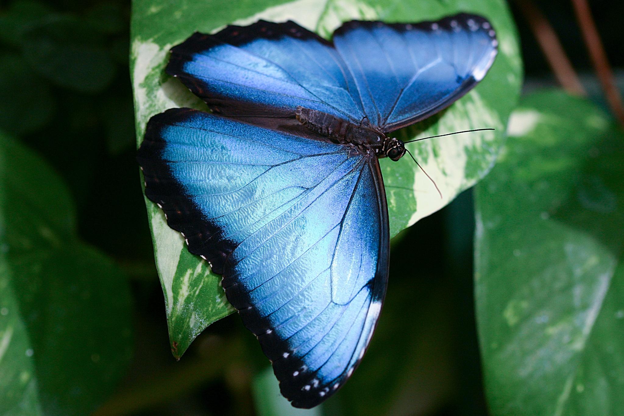 buttterfly by Renaat