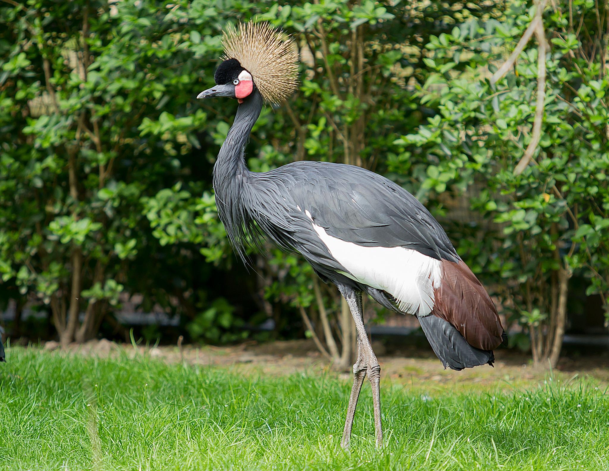 kraanvogel by Renaat