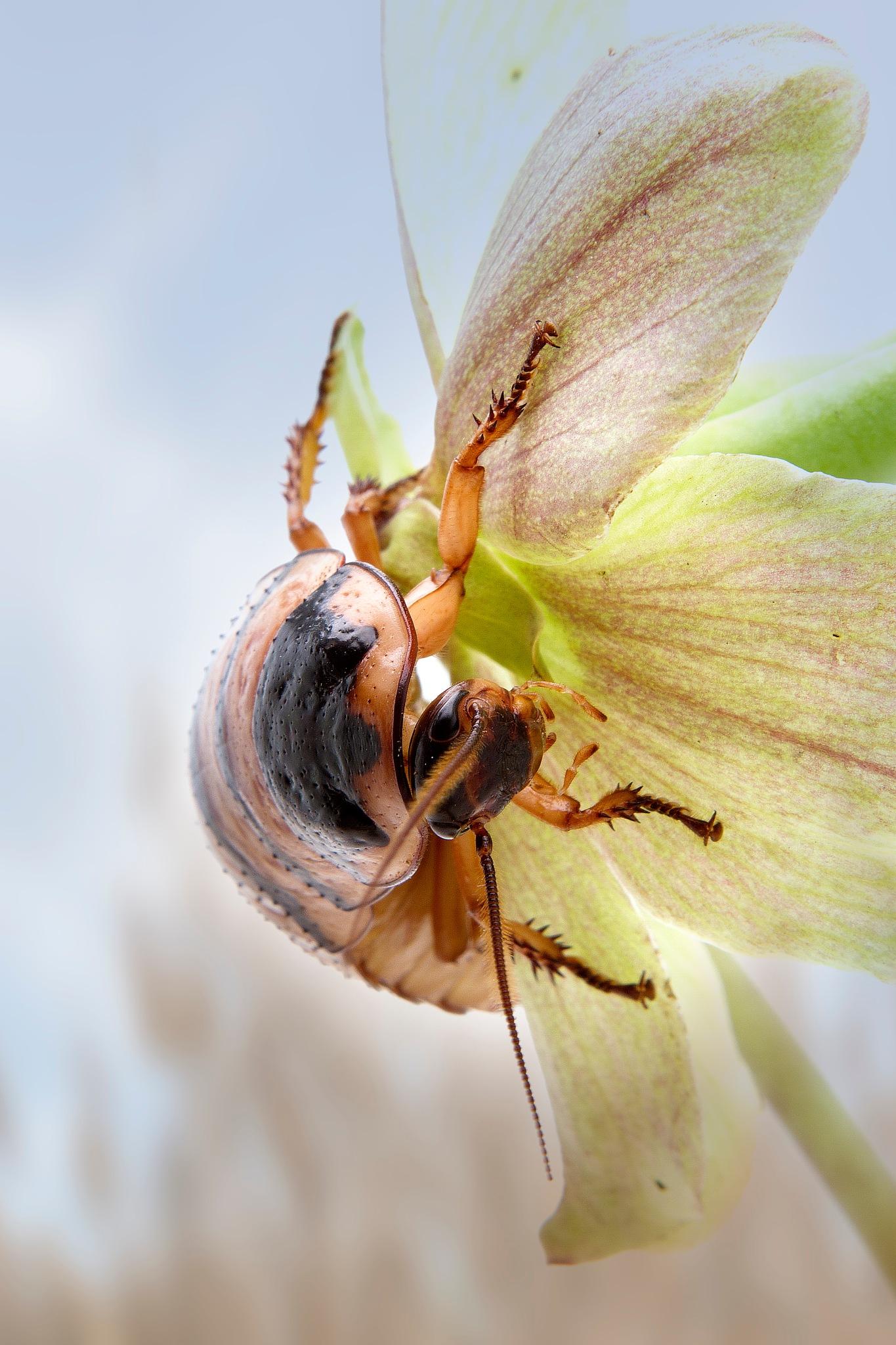 kakkerlak by Renaat