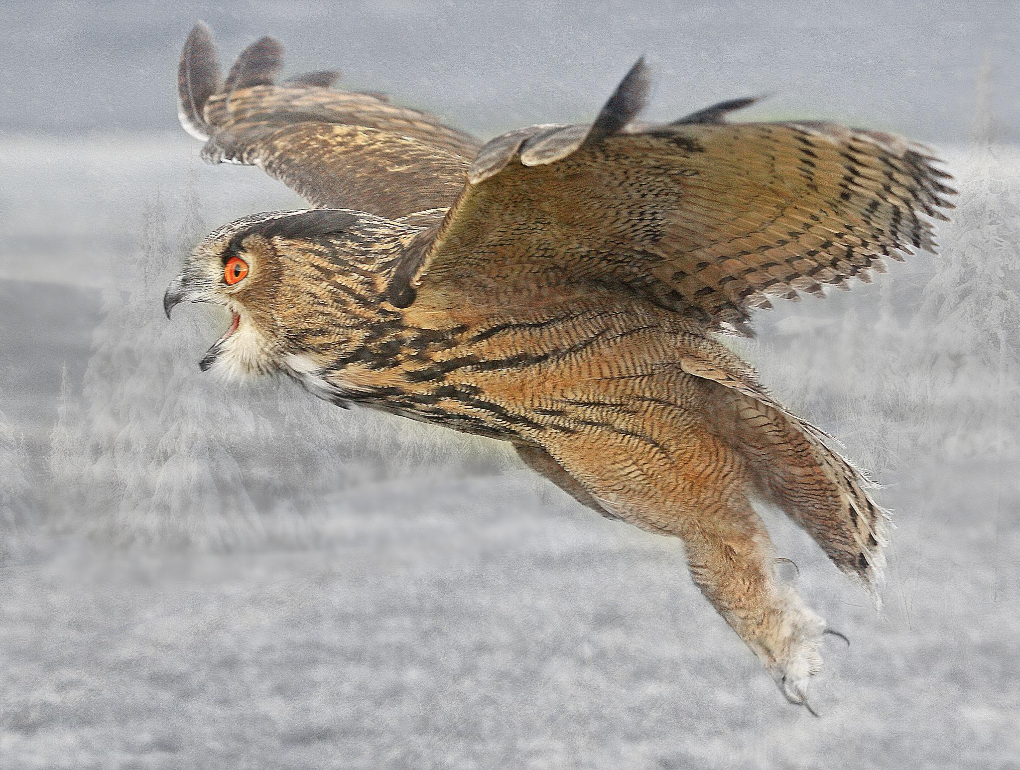 owl by Renaat