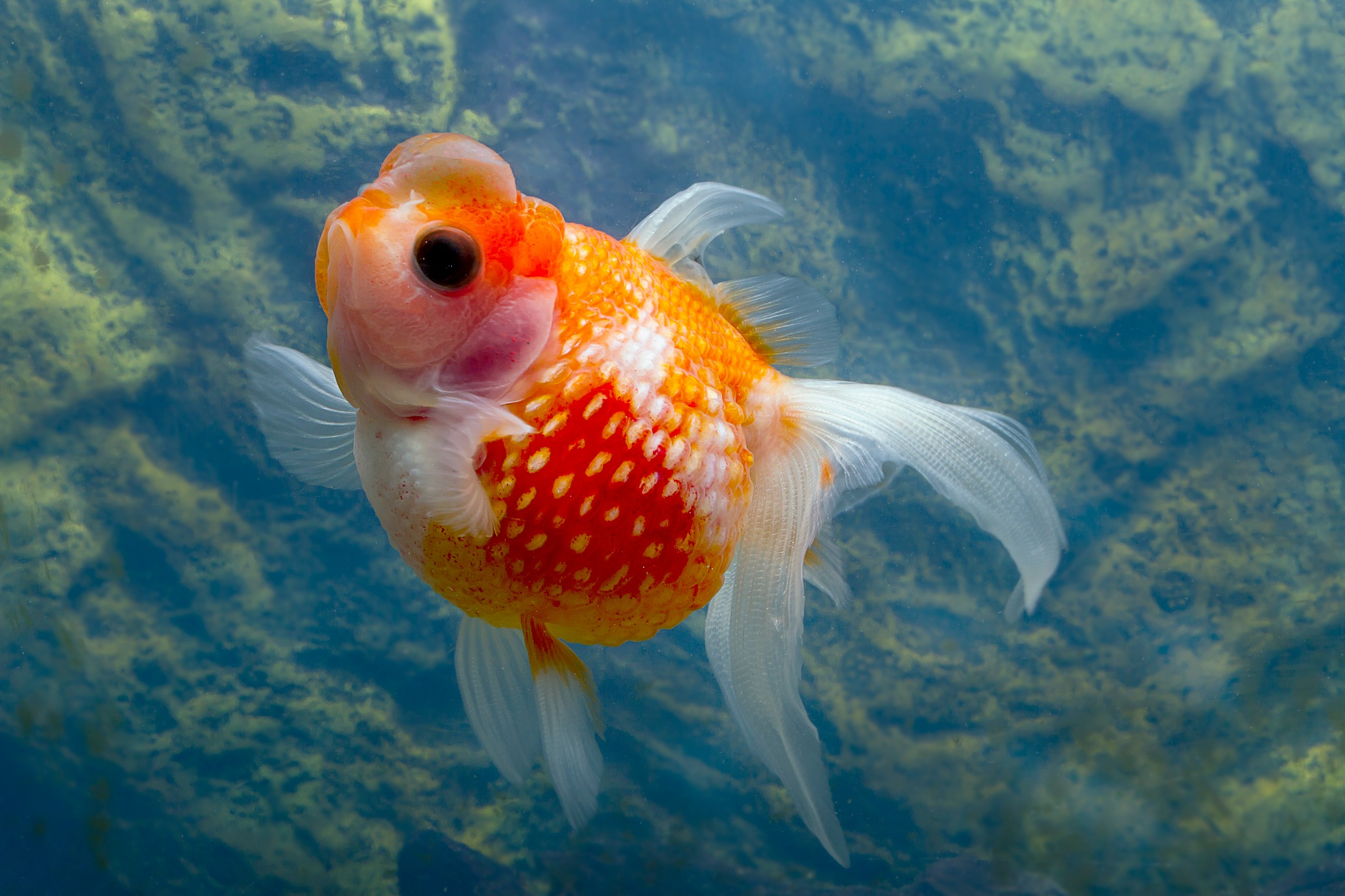 Asian goldfish by Renaat