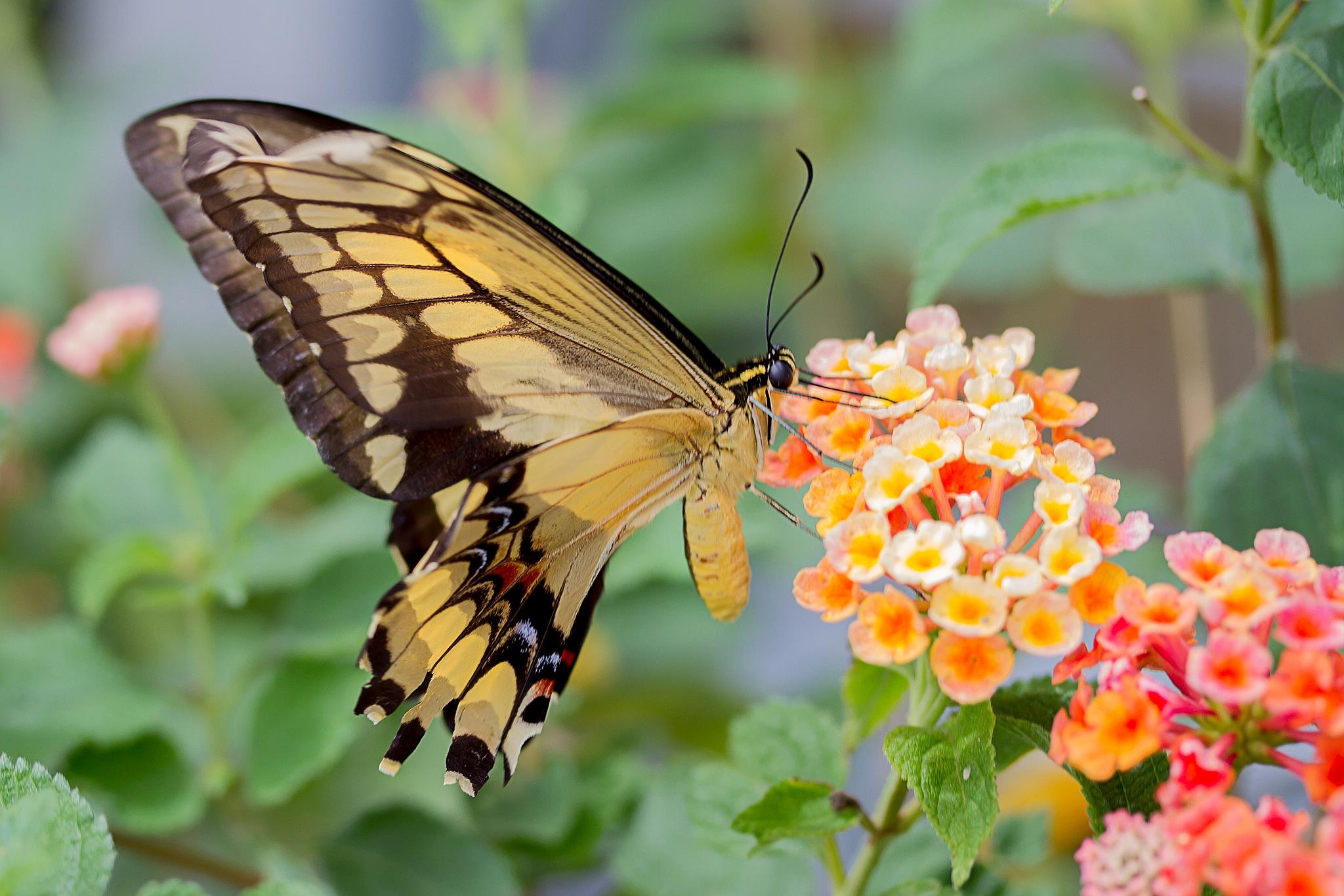butterfly-36 by Renaat