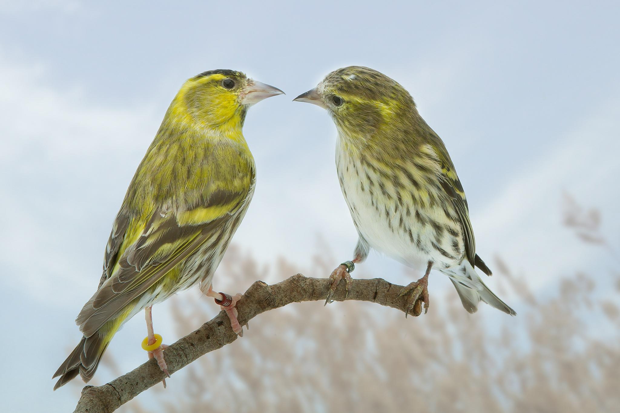 birds duo by Renaat