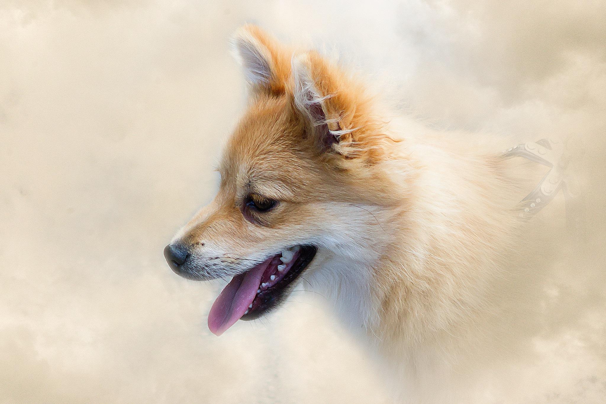 little dog by Renaat
