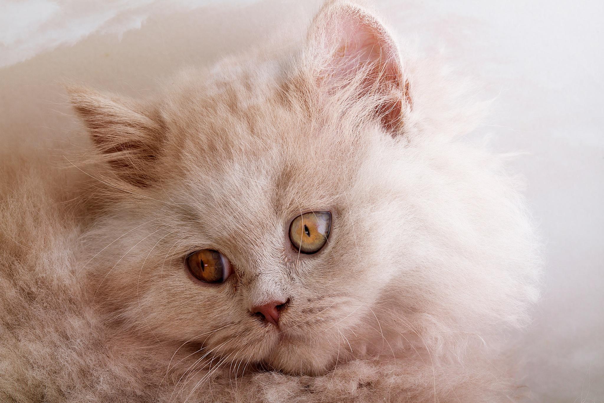 kitten by Renaat