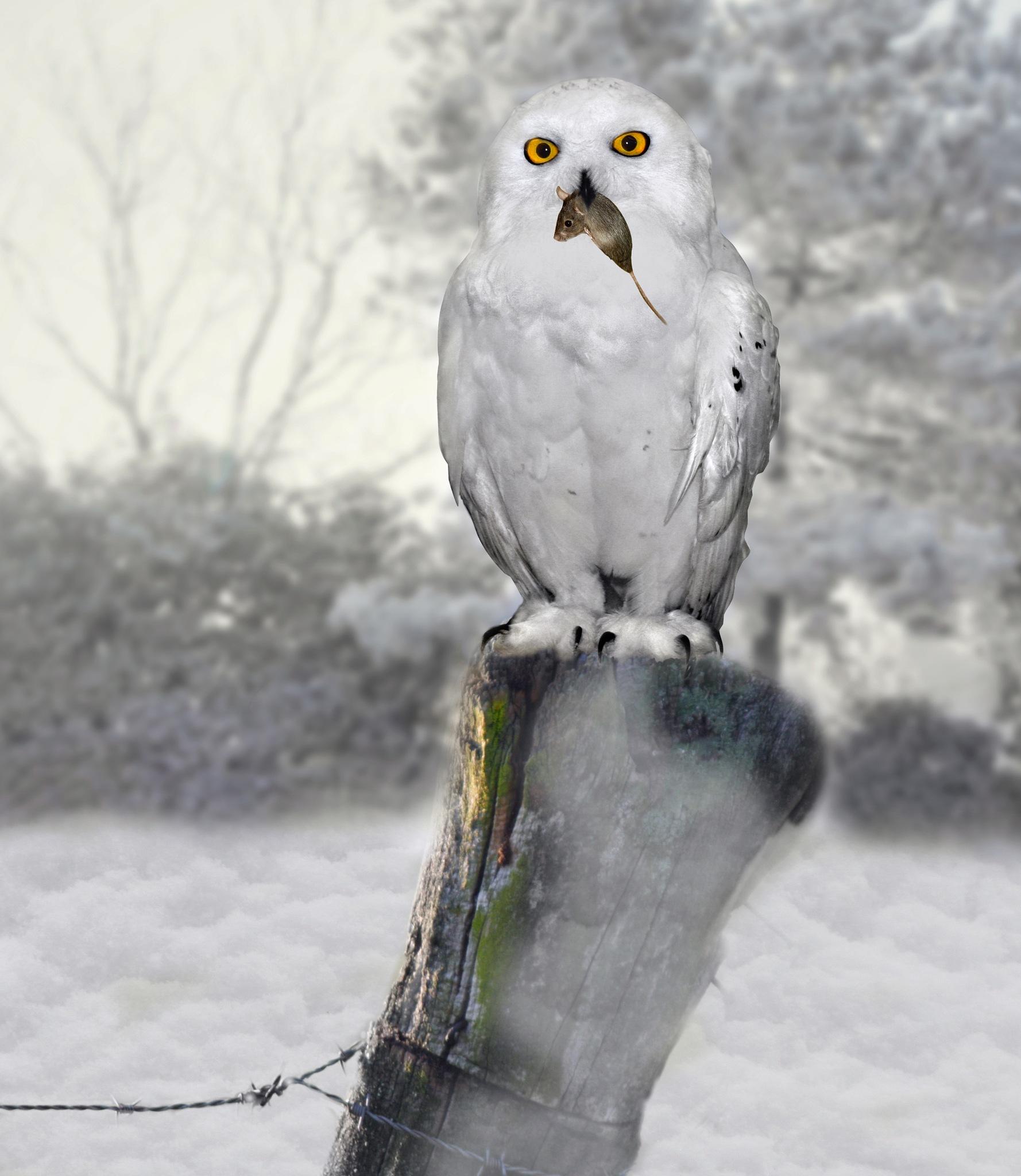 sneeuwuil by Renaat