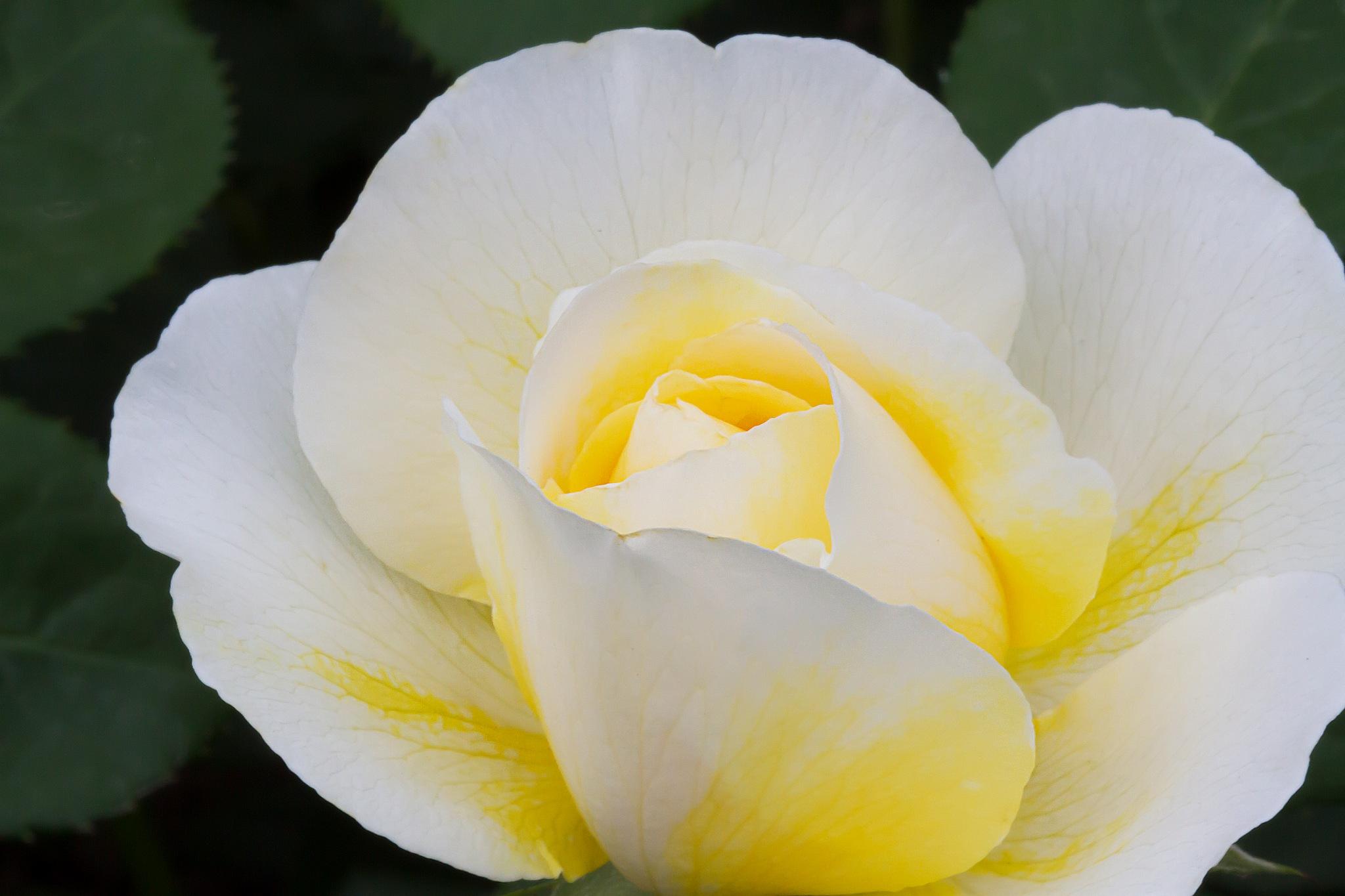 "Roses for ""Valentijn""-2 by Renaat"