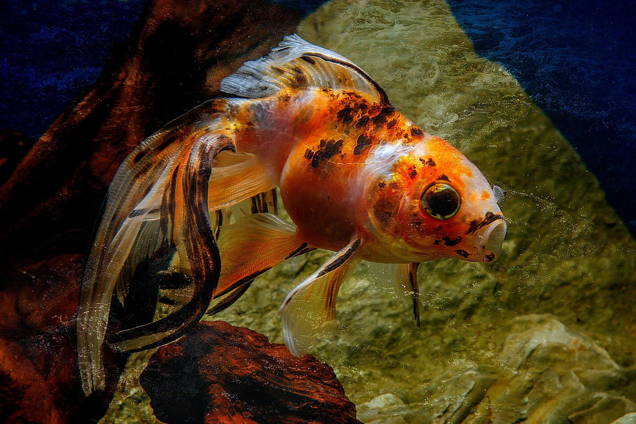 grote sluier goudvis by Renaat
